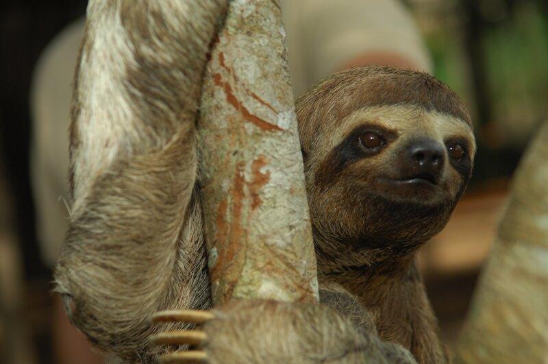 Three Toed Sloth 1 - Low Resolution.jpg