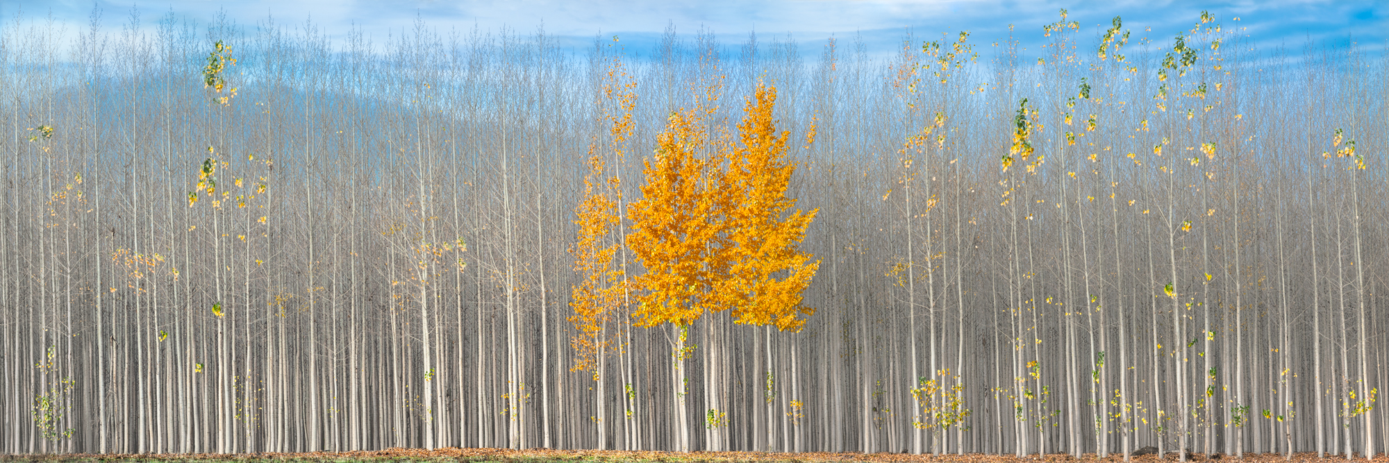 A Sun Story is a limited edition Fine Art Photograph by Jason Matias. It is an autumn photograph of a grove of poplar trees late in the season. All be three trees have shed their leaves. The golden leaves of the three trees shine like the sun and show autumn clinging to life and vibrancy.