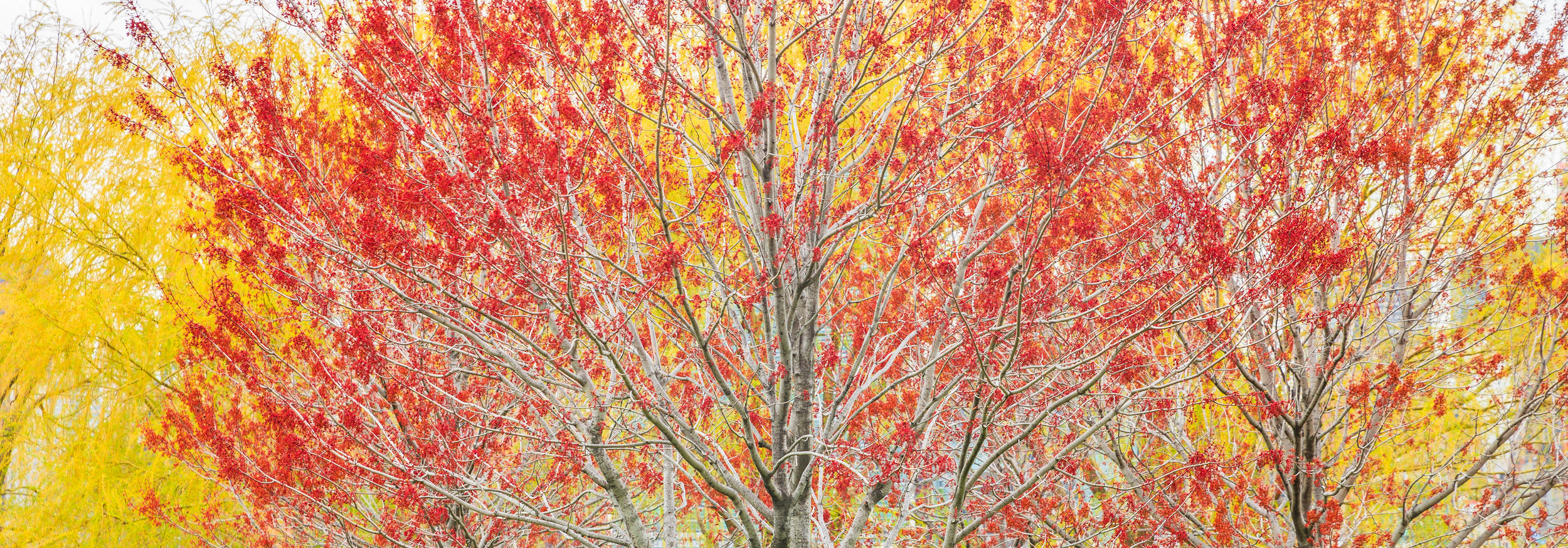 Red and yellow dominate this panoramic photograph of trees in New York. The fall season is in full swing and the trees are both full with leaves and full of color.