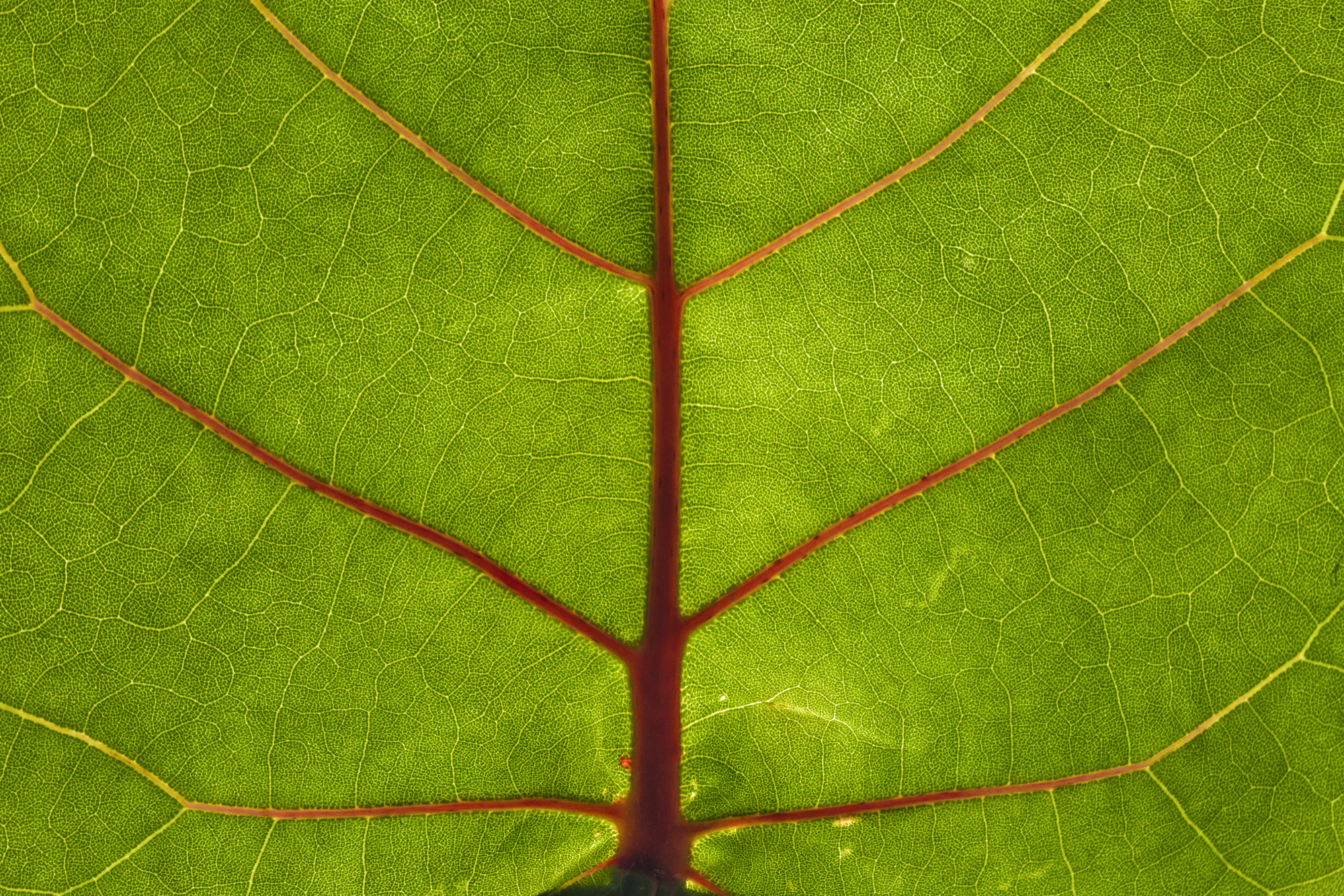 Life is a fine art photograph of a leaf with glorious detail and intricacy. Translucent lines contrast deep red veins on a green surface as the light of the sun illuminates the leaf. Green, Red, Yellow are dominate in this photograph. The ever smaller and more intricate lines and textures draw the viewer in.