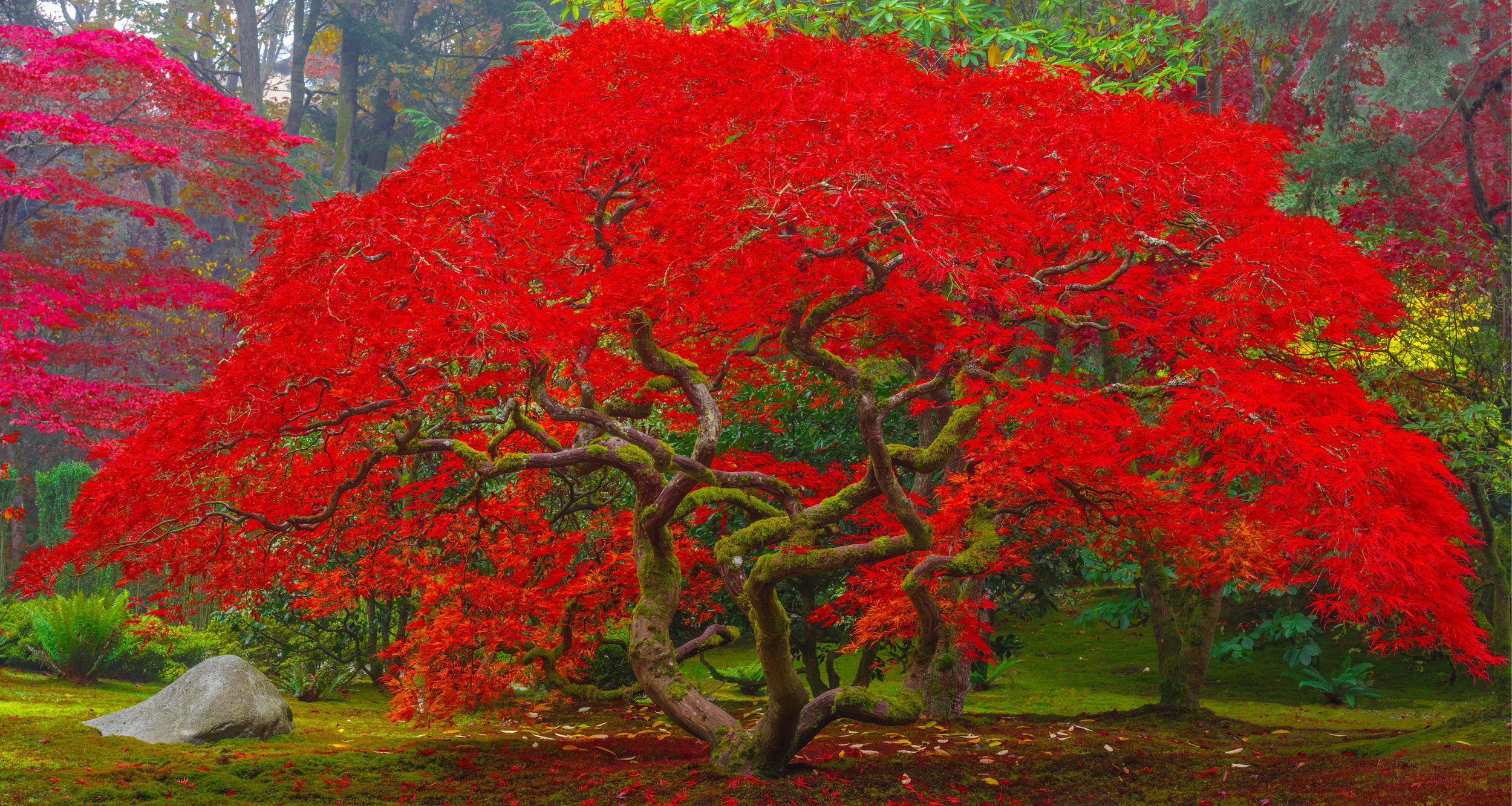 Avendasora is a fine art photograph for sale by Jason Matias. A Japanese maple captured in the full bloom of Autumn, its leaves are as red a the freshly adorned lips of a women. So red they could be described as scarlet. The leaves have just begun to fall below the twisting branches of the Japanese maple. Above the tree the atmosphere is filled with a Pacific Northwest fog.