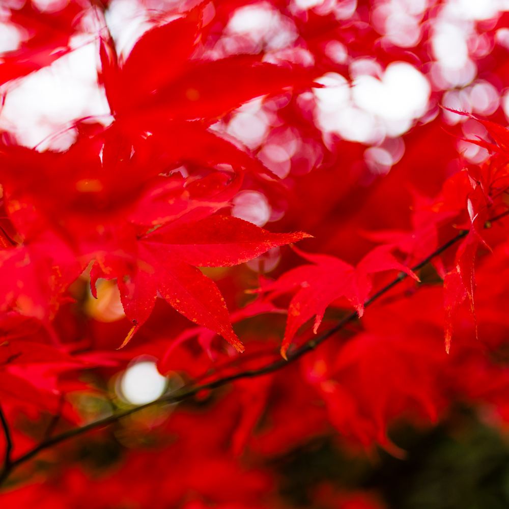 red maple leaves during autumn
