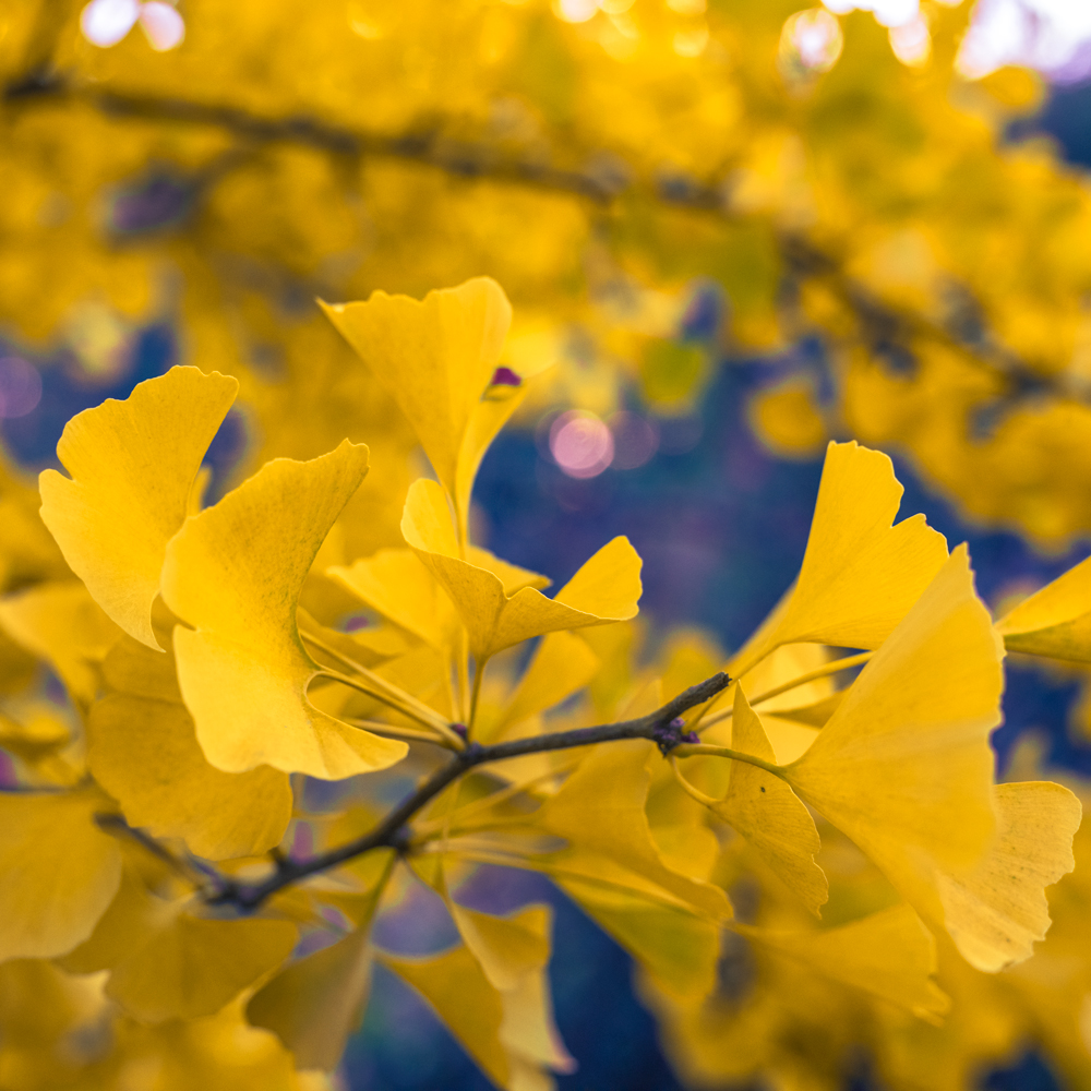 Captured in the Kubota Garden. The sun set left cool blue shadows that contrasted wonderfully with these yellow leaves.