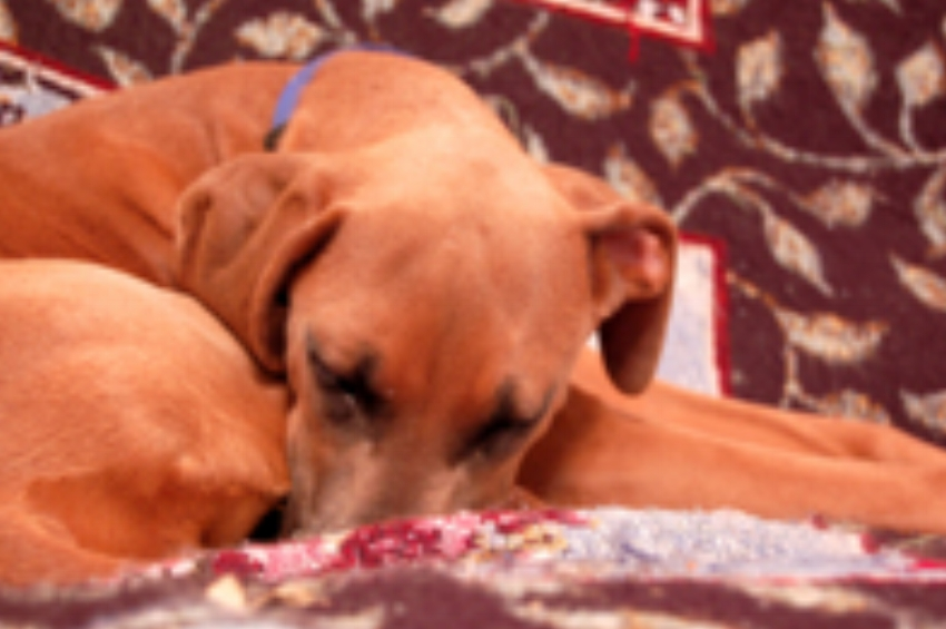 Sophie: Search and Rescue K9 Rhodesian Ridgeback