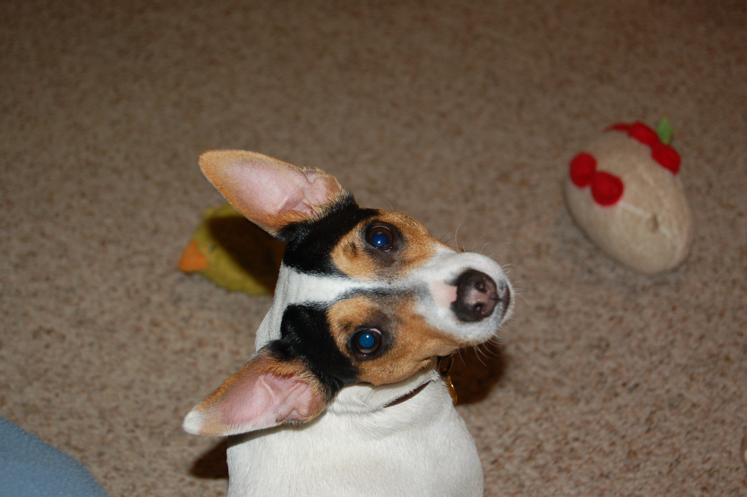 Pippin: Deaf and disabled, but awesome anyways! Jack Russell Terrier