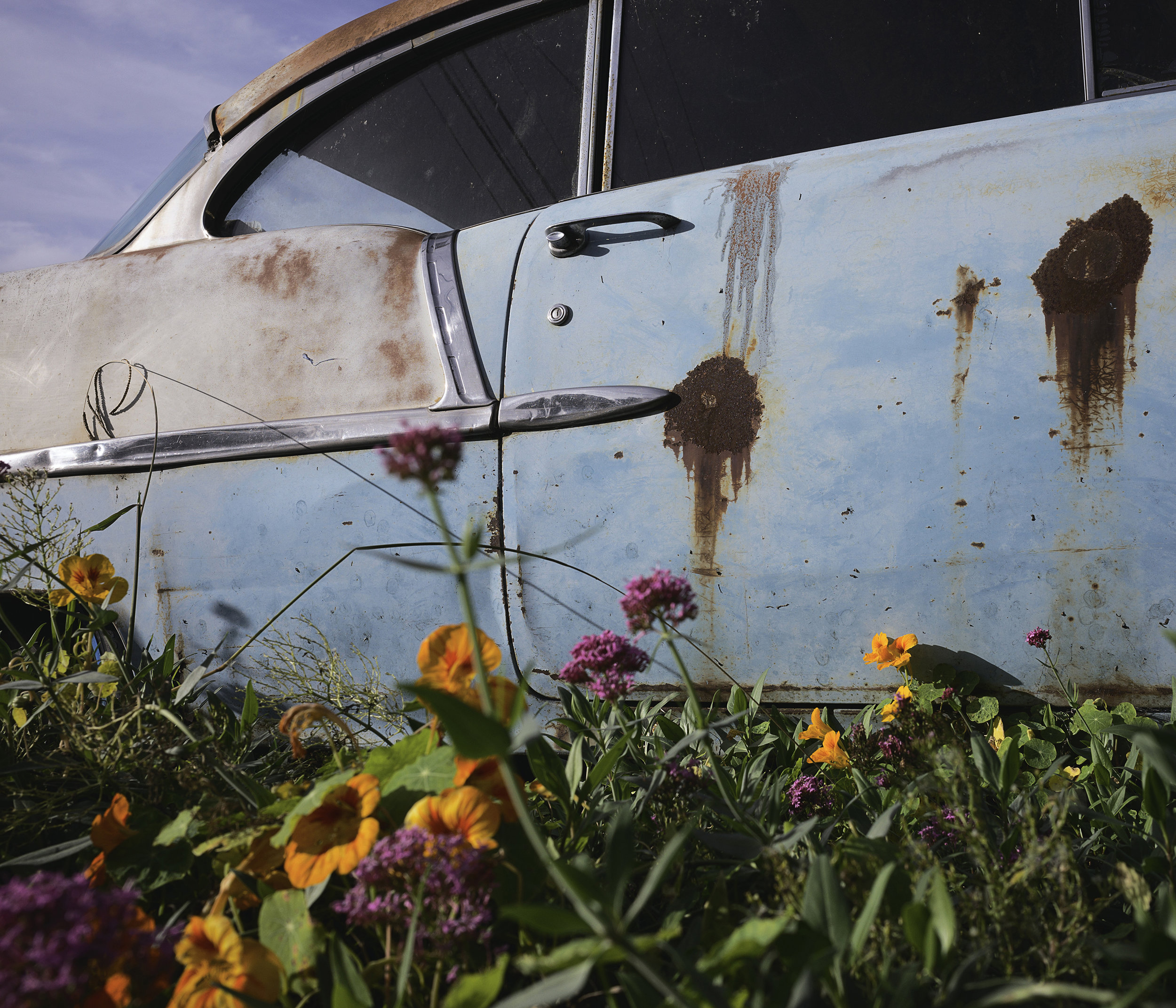 1950's rusted Chevy in a flower yard.jpg