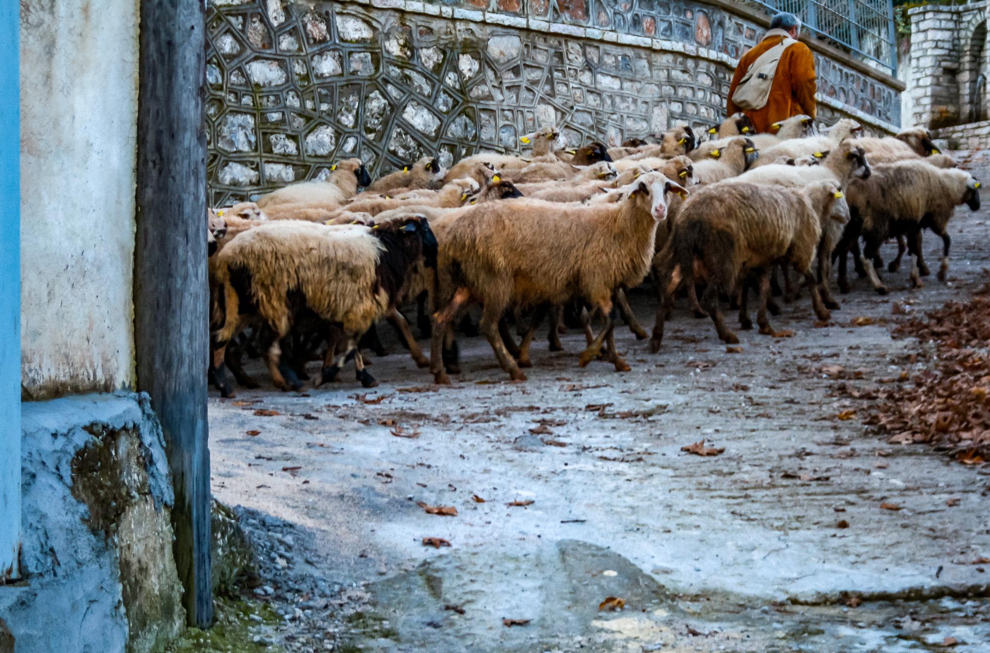 Shepherding - not a glamorous assignment.