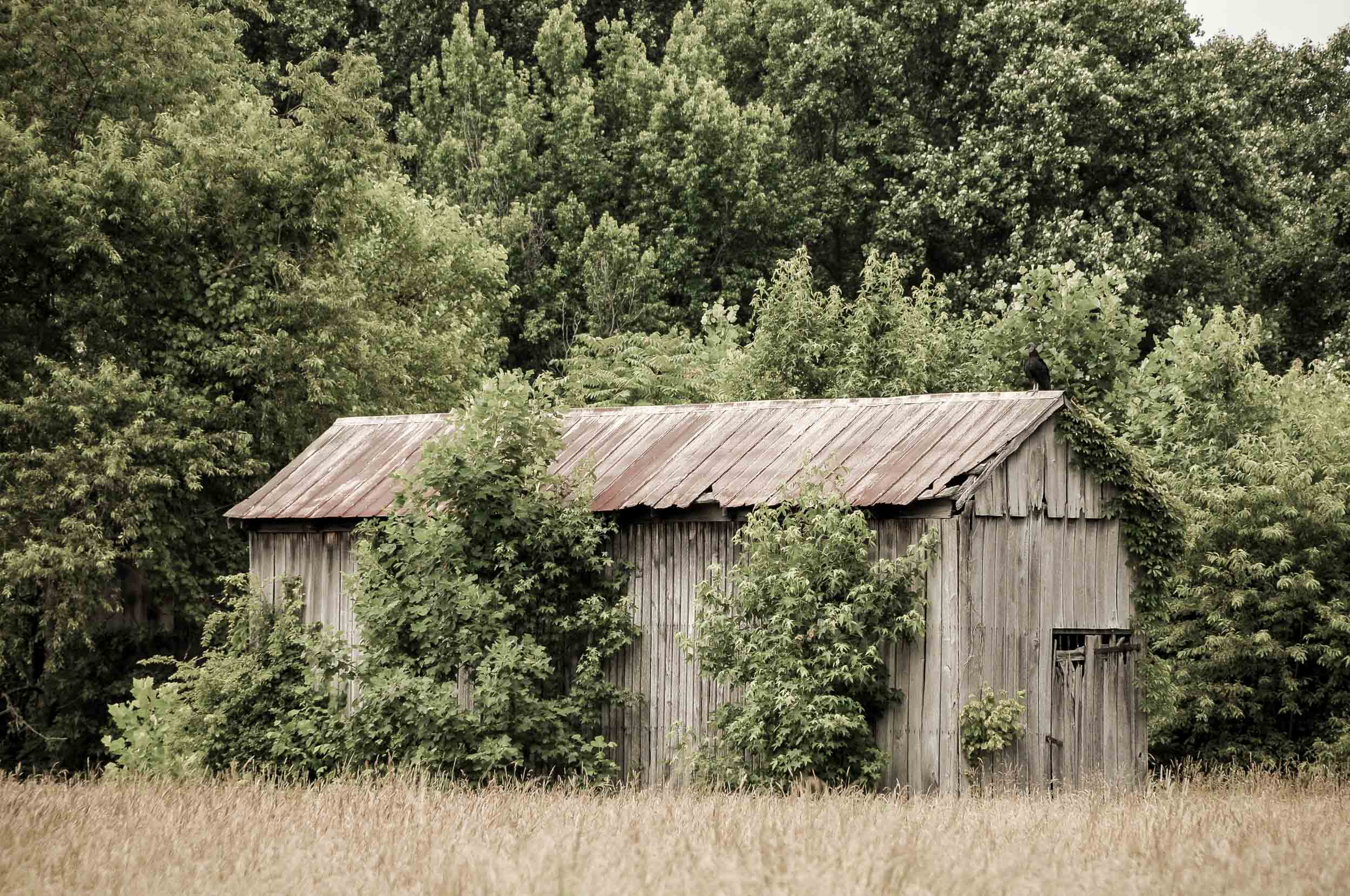 Old Barn Near Mount Calvert Plantation  Photo: Rose Anderson, June 2018