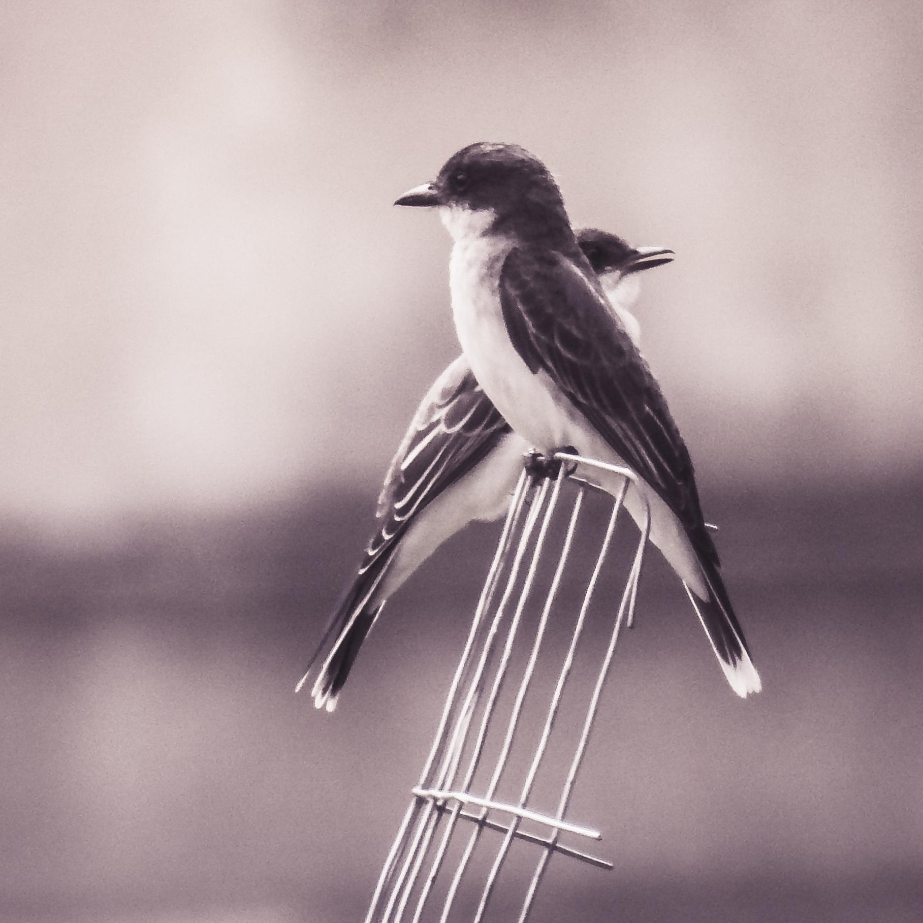 Kingbirds (Tyrannus tyrannus) Photo: Rose Anderson, July 2018