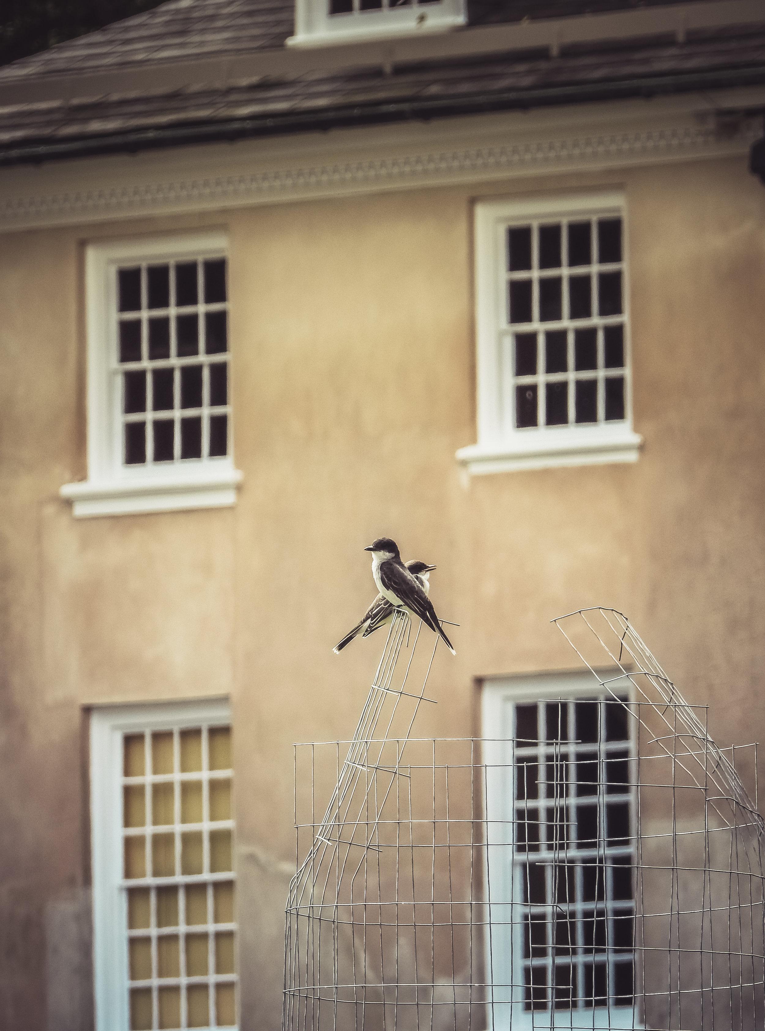Kingbirds at Hampton Mansion Photo: Rose Anderson, July 2018
