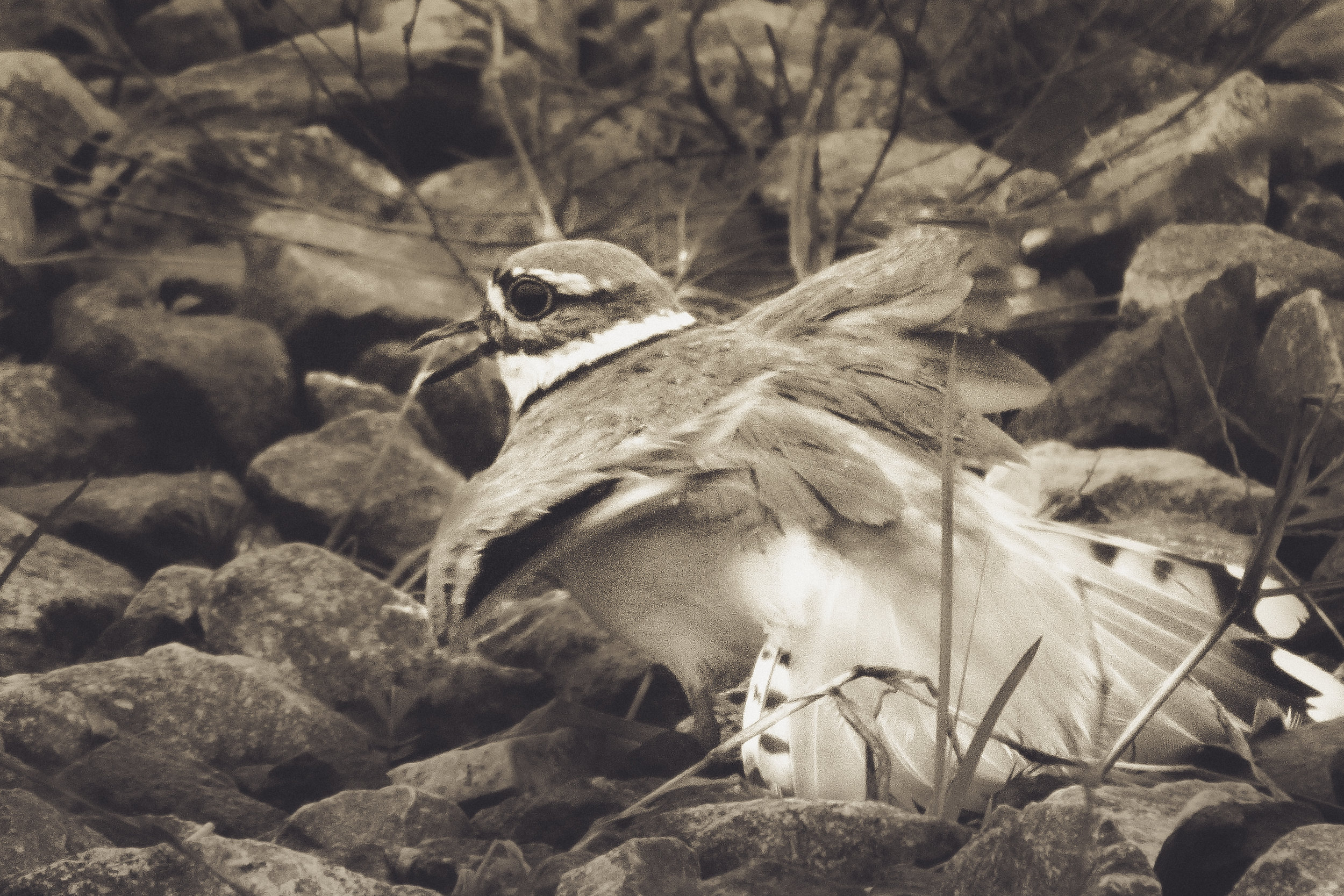 Killdeer Feigning Broken Wings to Draw Predators Away from Her Eggs Photo: Rose Anderson, 2012