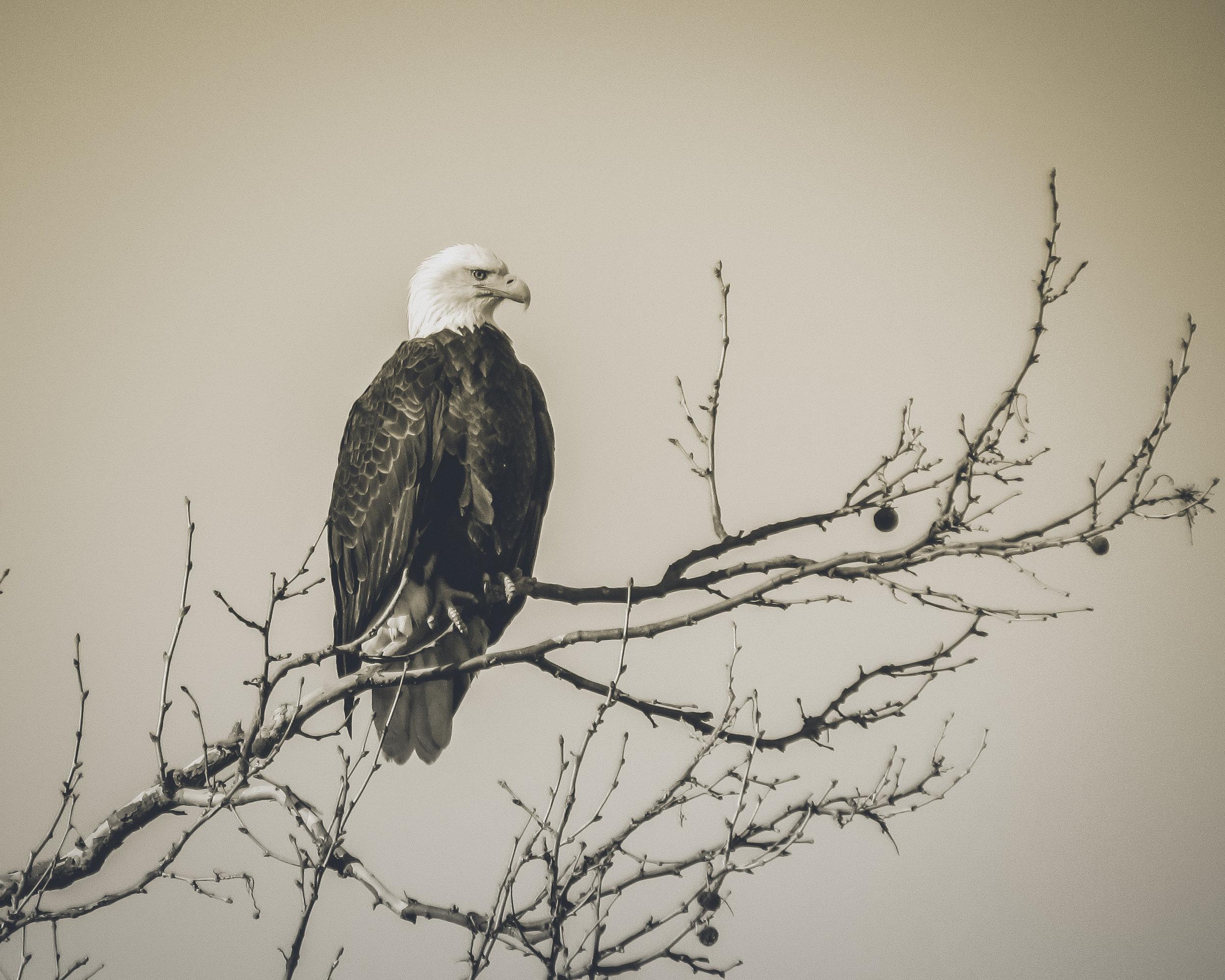 Bald Eagle Photo: Rose Anderson