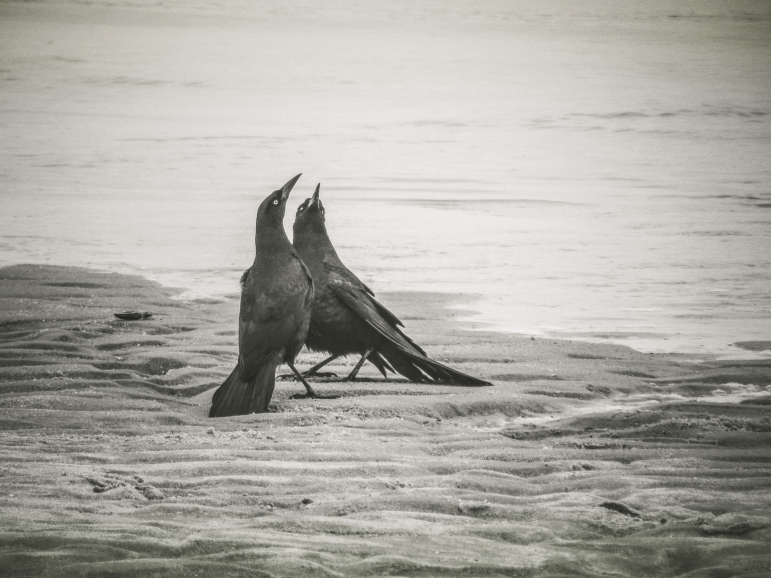 Boat-tailed Grackles in Courtship Photo: Rose Anderson