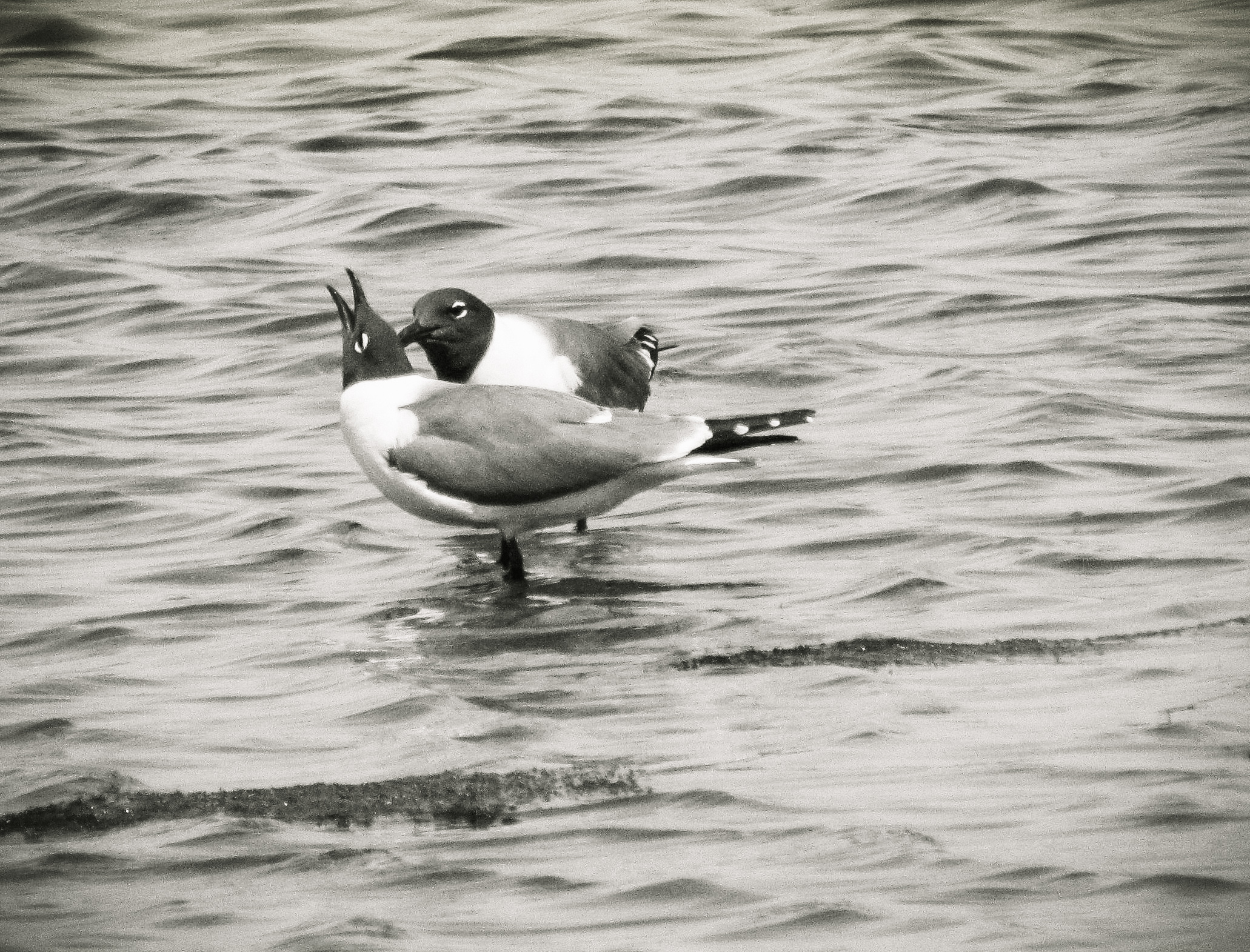 Bonded Laughing Gull Pair Photo: Rose Anderson