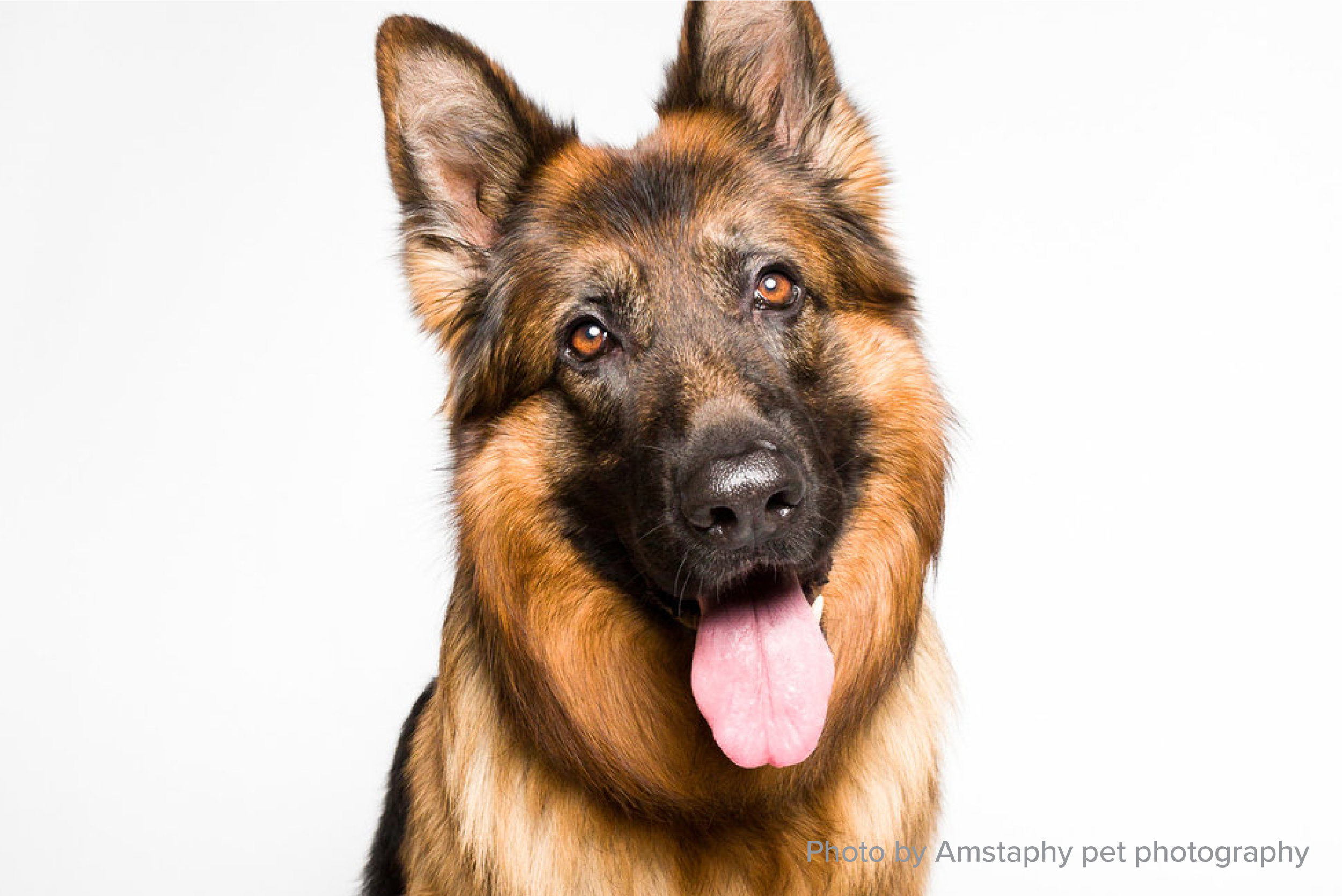 Miami's Love of German Shepherds - While you may assume members of the 305 area code would prefer a Pitbull (sorry bad joke), according to the American Kennel Club, German Shepherds are Miami's most popular dog breed.