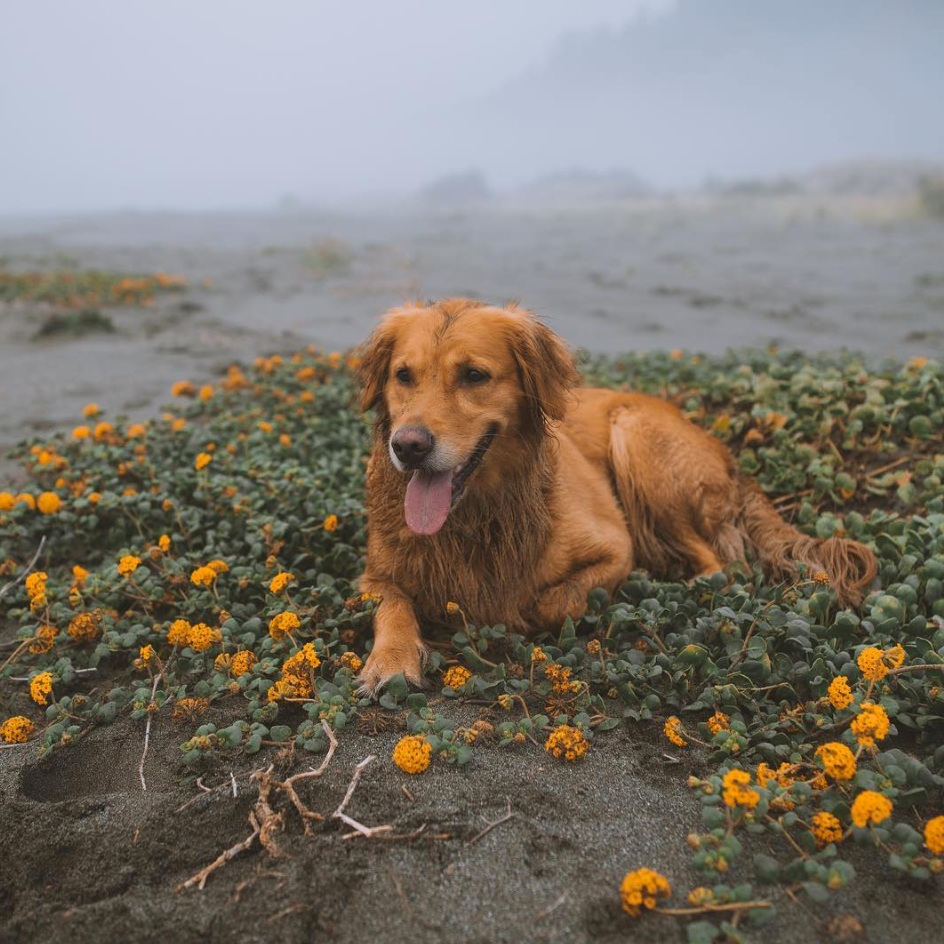 @milliethegolden - Millie, the adorable Golden Retriever, is up for any adventure. She enjoys taking dips in lakes, hiking snowy mountain trails, and cuddling up in camping tents.