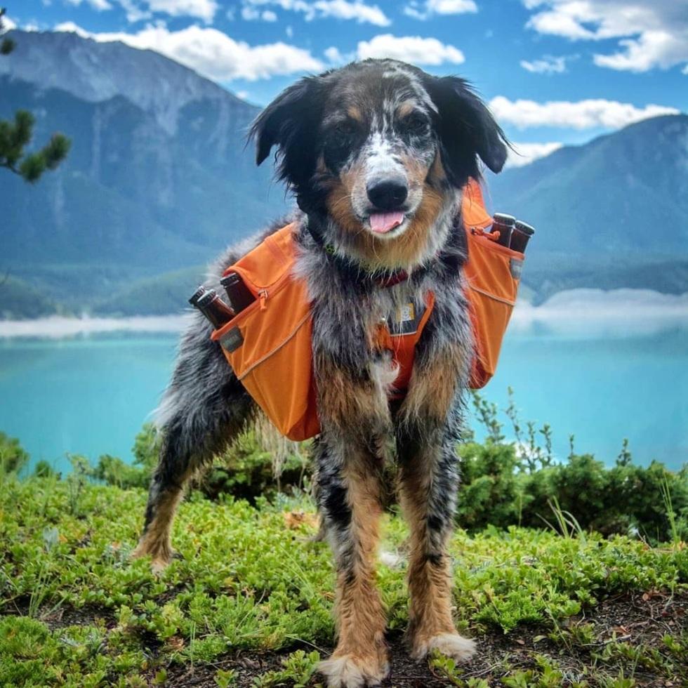 @atlastheadventuredog - Atlas, a fun-loving Australian Shepherd, happily frollicks in the Canadian wilderness.
