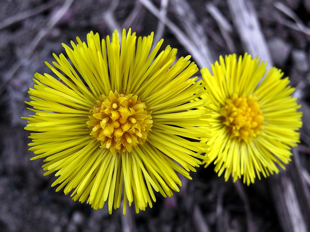 coltsfoot live.jpg