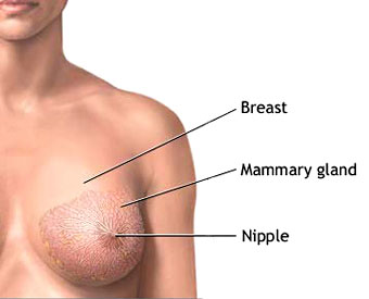 04_OS_Breast_Normal_A.jpg