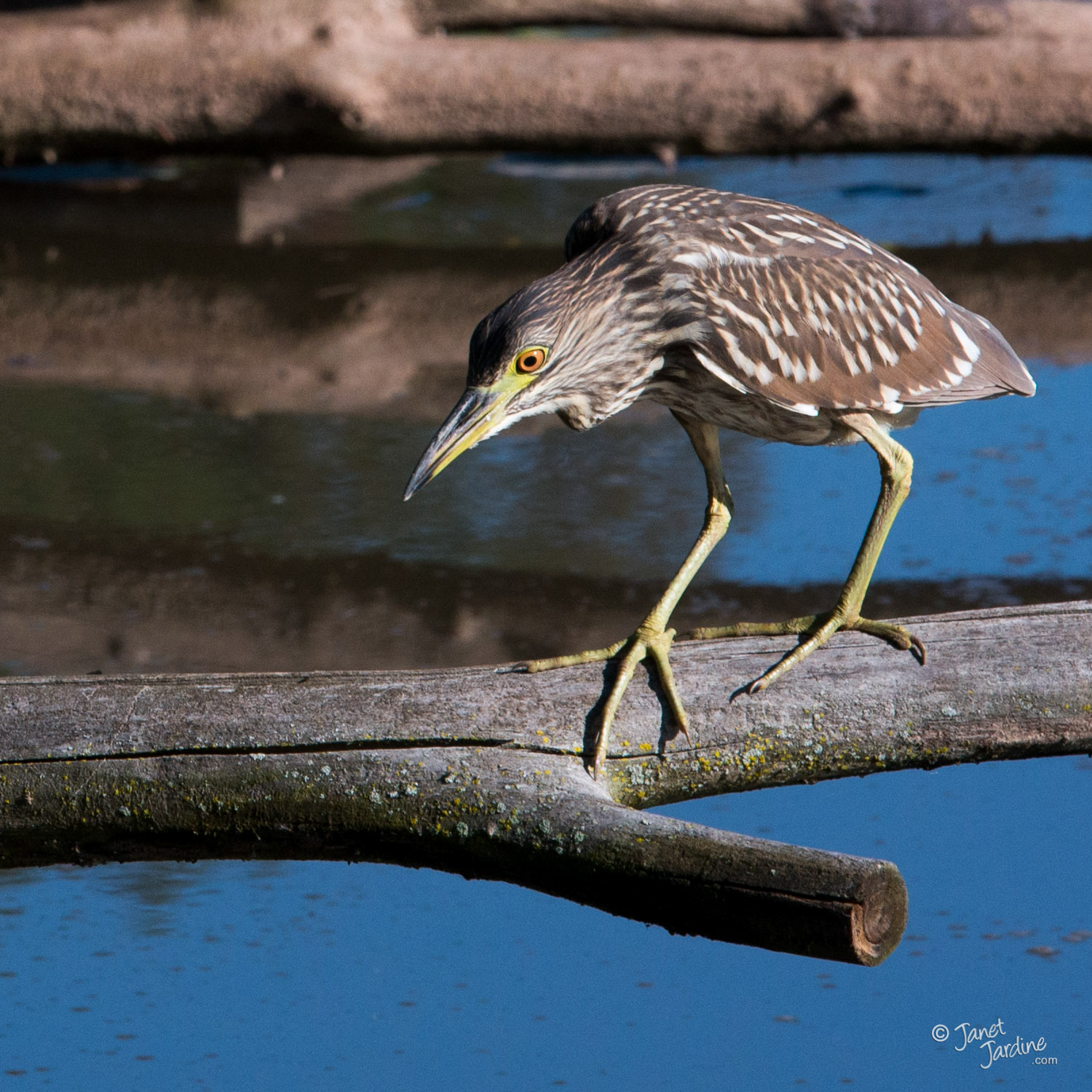 Junvenile-Black-crowned-Night-Heron_Photo_copyright_Janet_Jardine.jpg
