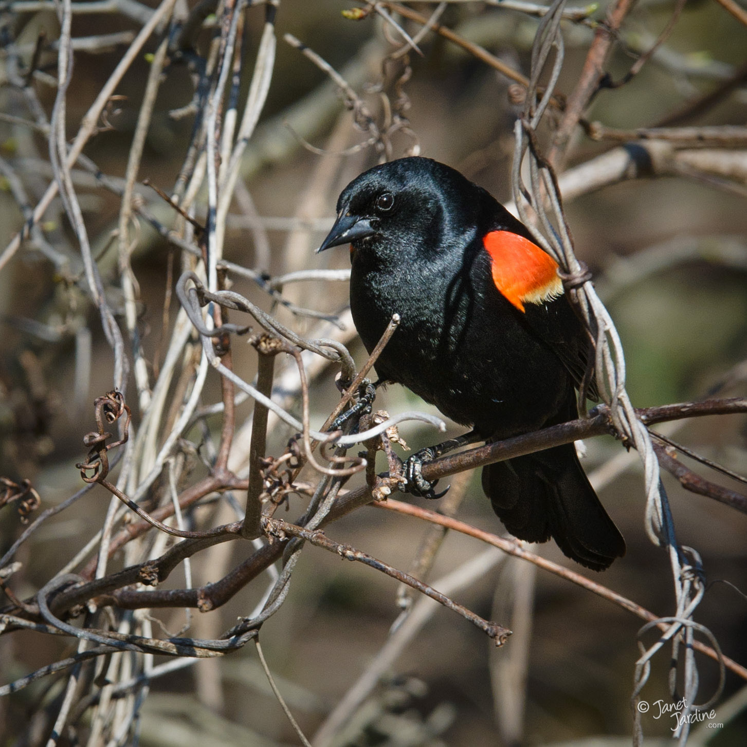 Red-winged-Blackbird_Photo_copyright_Janet_Jardine.jpg