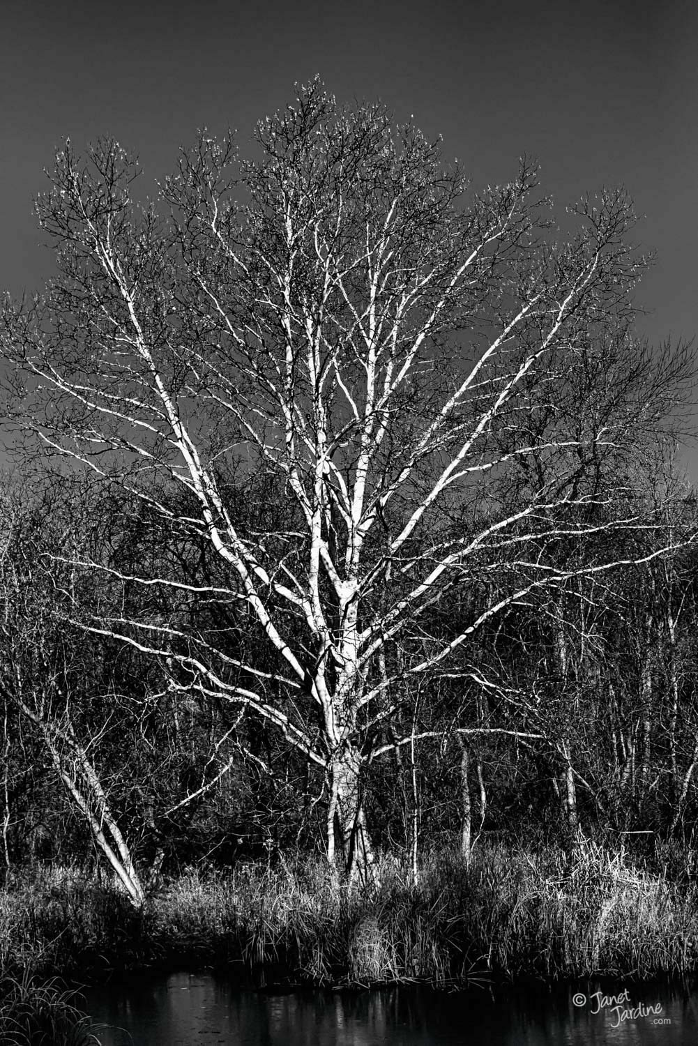 Sycamore-Tree_Photo_copyright_Janet_Jardine.jpg