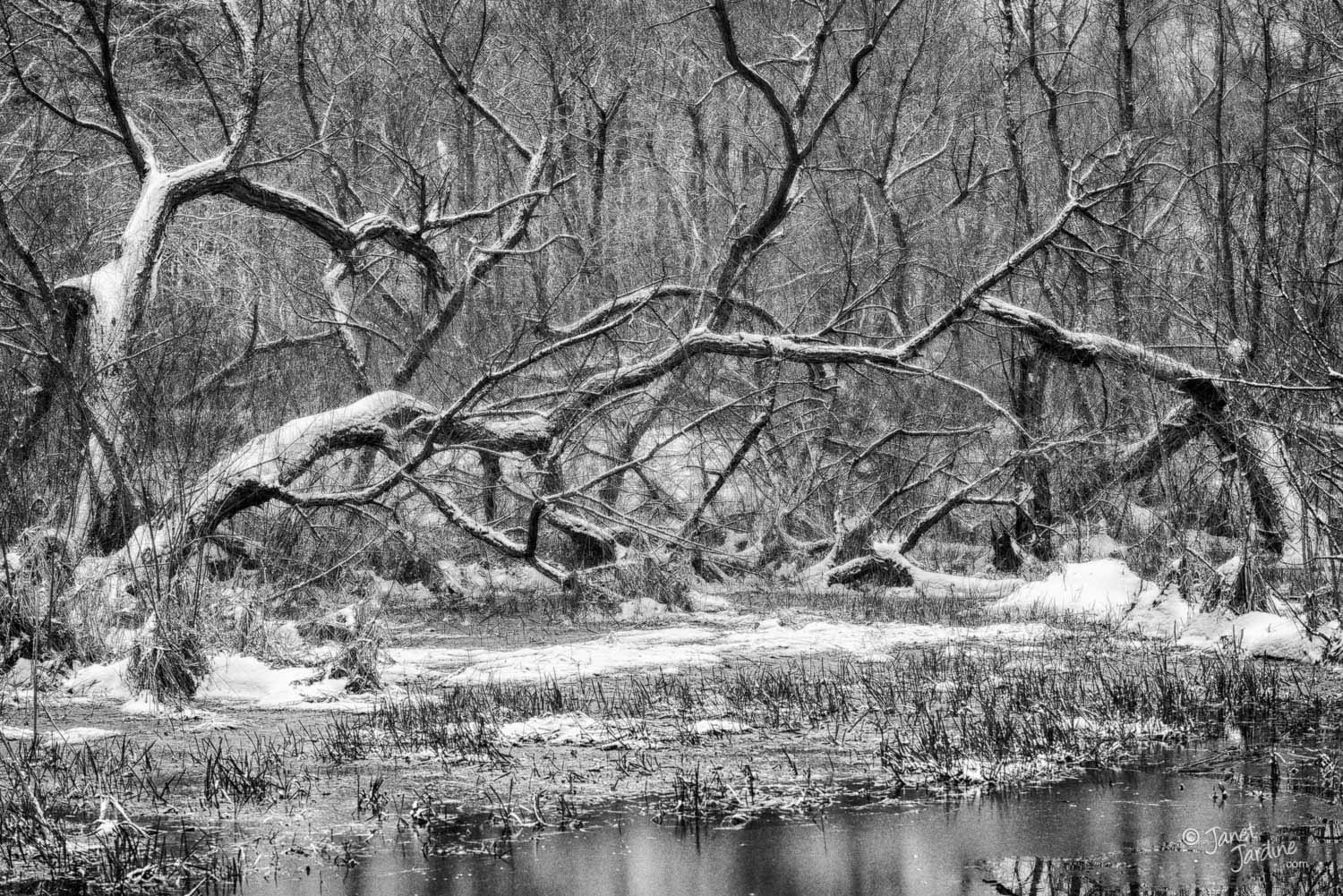Tree-tangle-after-a-Spring-snowfall-at-the-marsh_Photo_copyright_Janet_Jardine-2.jpg