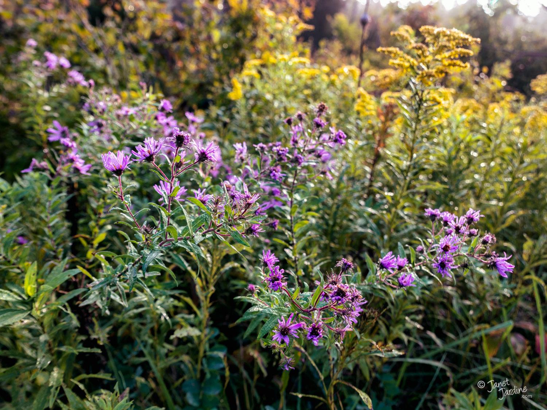 Autumn-Wildflowers--Featuring-Asters_Photo_copyright_Janet_Jardine.jpg