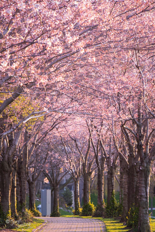 Spencer-Smilth-Park-Cherry-Trees_Photo_copyright_Janet_Jardine_SquareSpace.jpg
