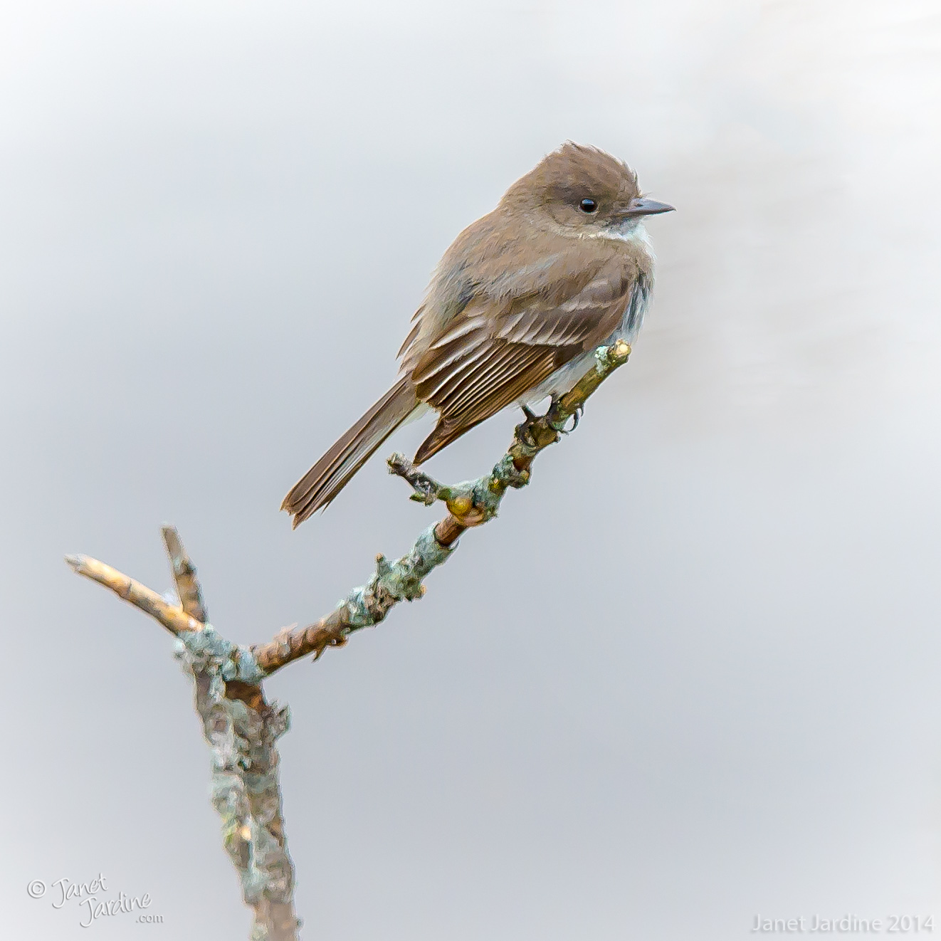 Eastern-Phoebe_Photo_copyright_Janet_Jardine_SquareSpace.jpg