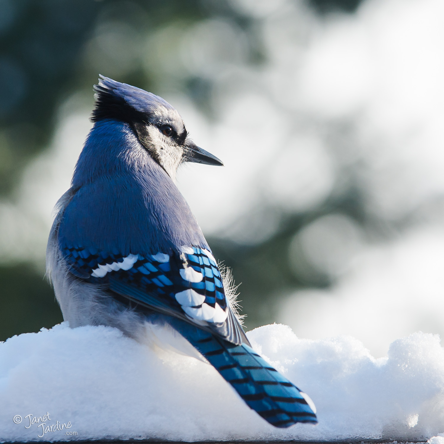 Winter-Blue-Jay_Photo_copyright_Janet_Jardine_SquareSpace.jpg
