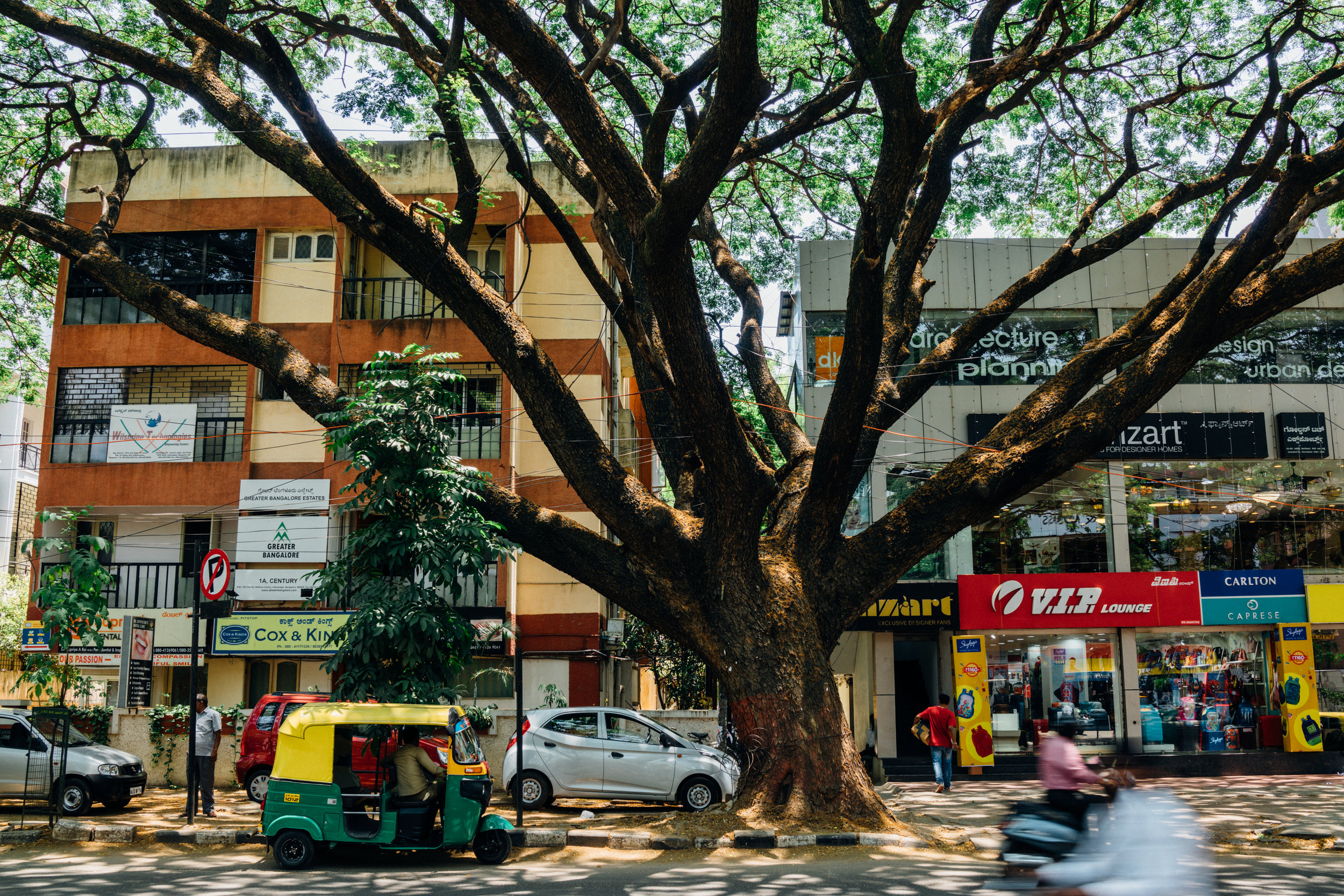 Albizia saman  on 100 Feet Road in Indiranagar