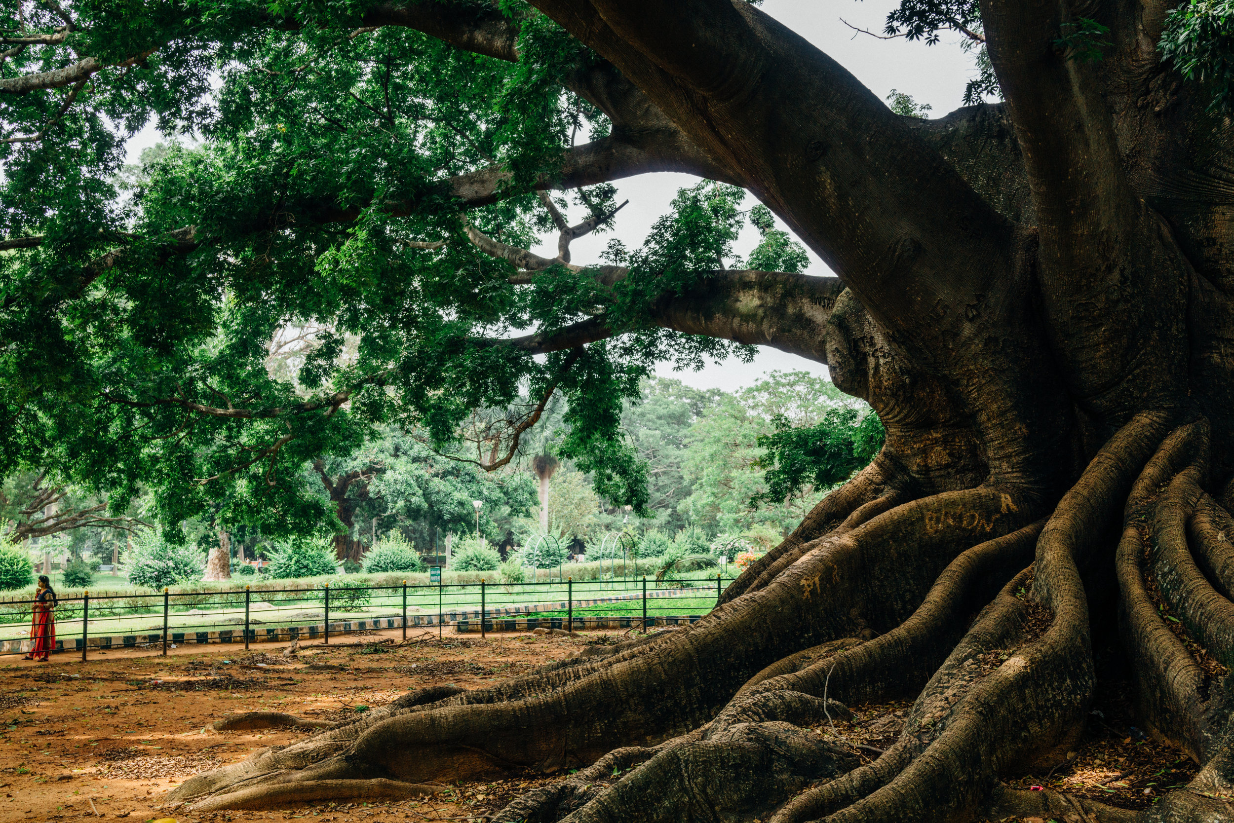 A  Ceiba pentandra , or White Silk-Cotton Tree, over 200 years old, at Lalbagh in Bangalore