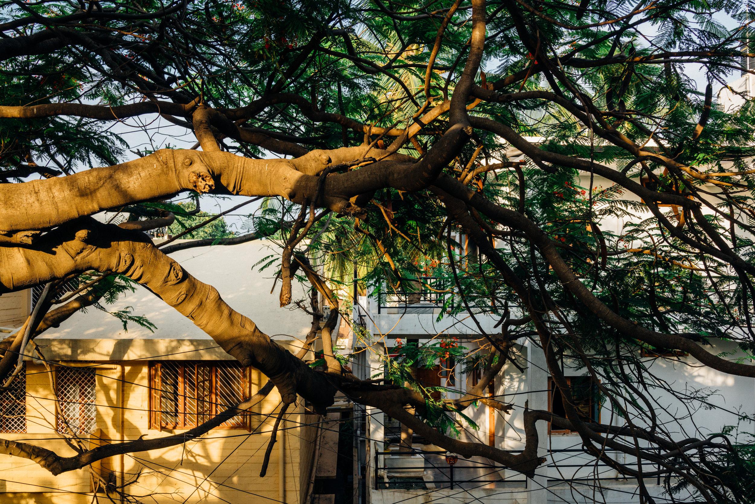 Gulmohar  tree from the balcony at dusk