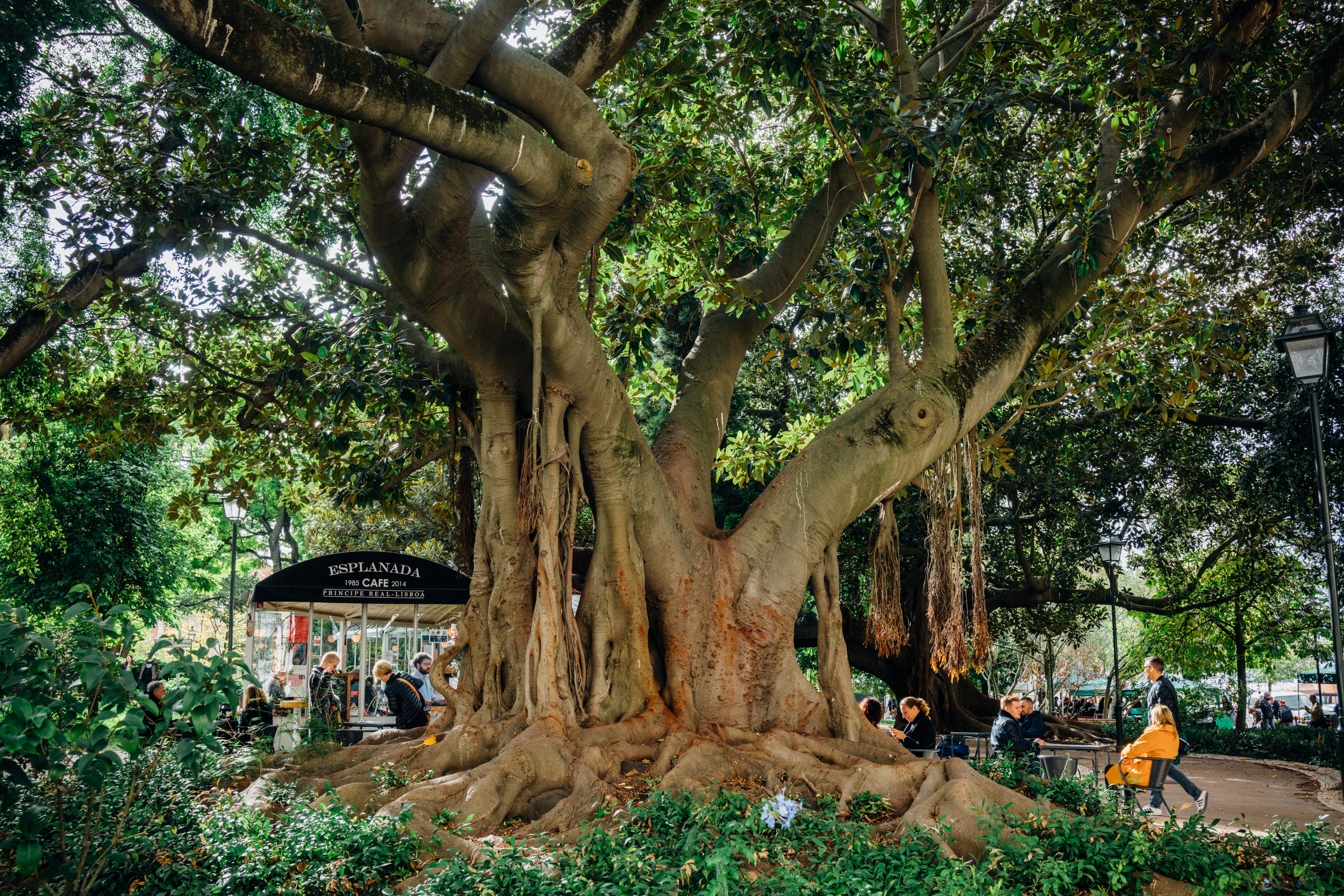 Ficus macrophylla , or the Moreton Bay fig is relatively common in Lisbon . This beauty is seen in Jardim do Príncipe Real, in the lovely Príncipe Real neighborhood.