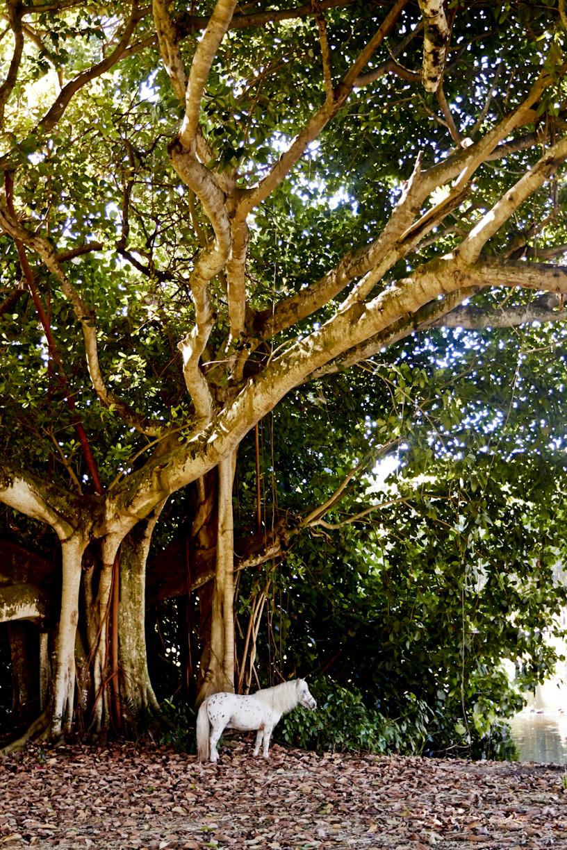miniature-horse-banyan-tree-lifestyle-photography.jpg