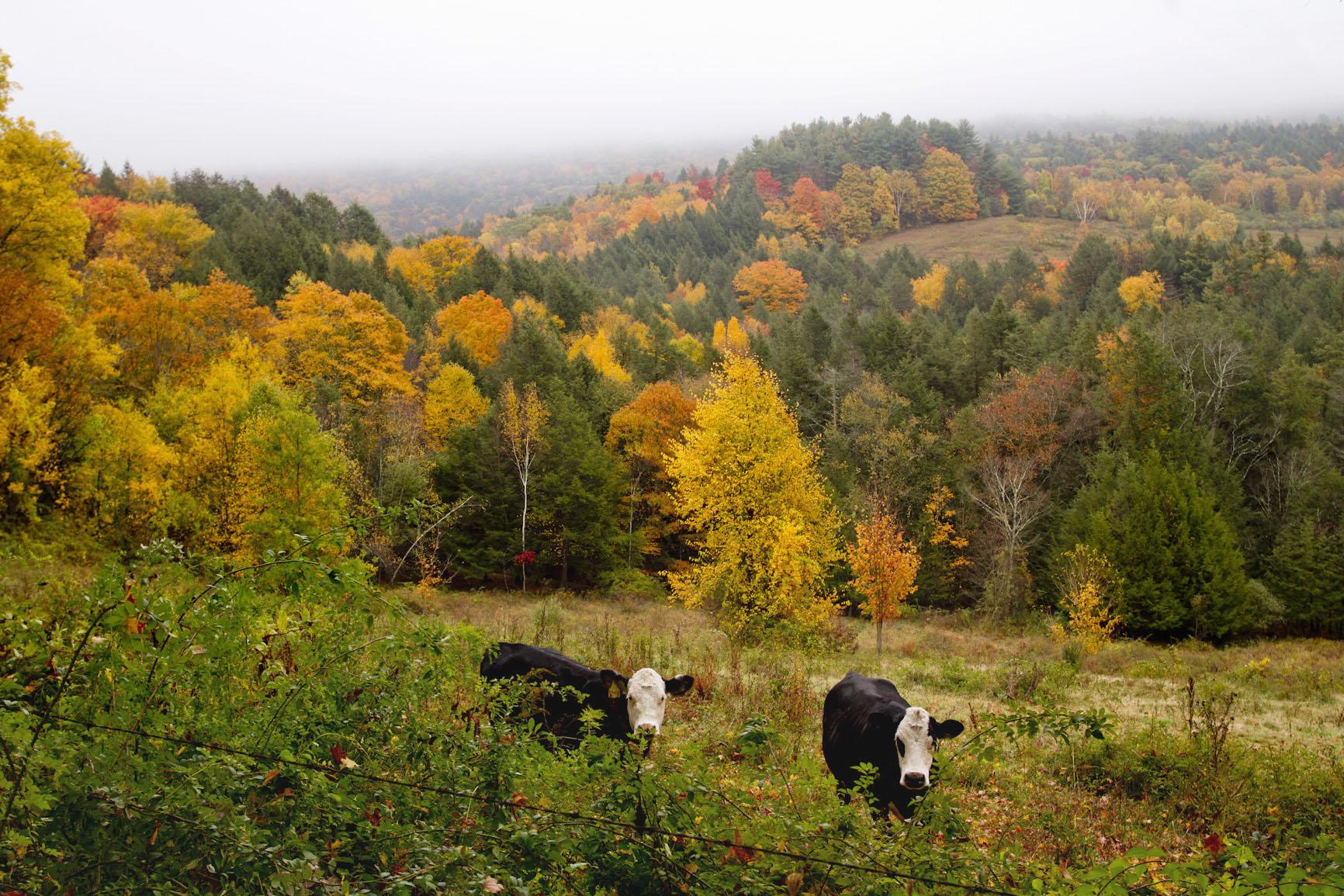 rural-farm-cows-autumn-leaves-foliage.jpg