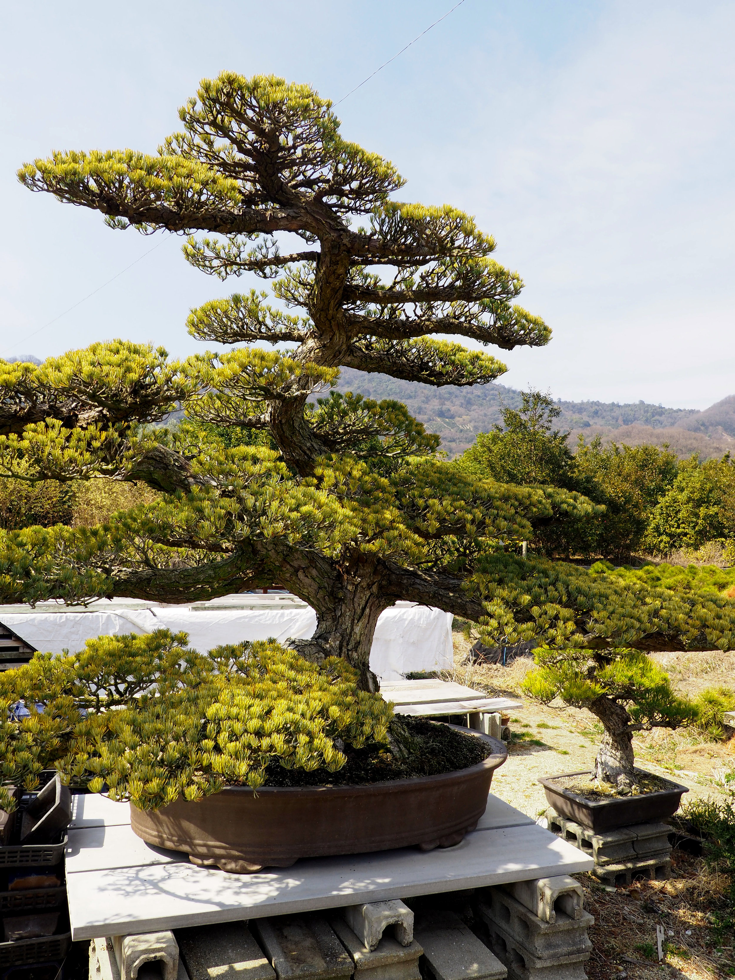 Bonsai on mountain.jpg