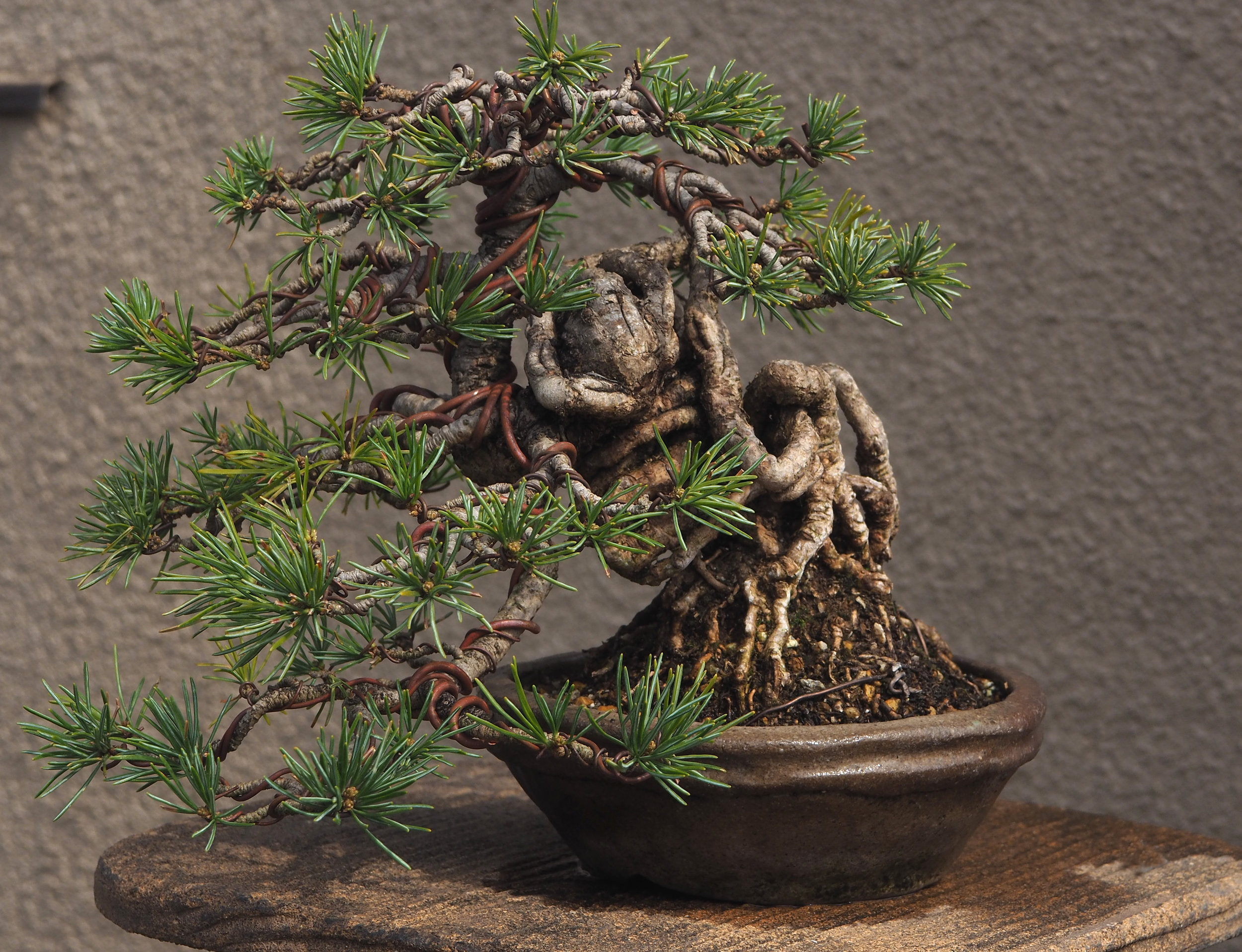 Anthonys Black Pine.jpg