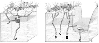 Morphology of crayfish burrows: A, that of a primary burrowing species; B, C, D, those of a secondary burrowing species; E, that of a tertiary burrowing species (from Hobbs 1981)