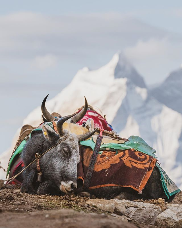 A couple yaks taking a snooze high in the Himalayas