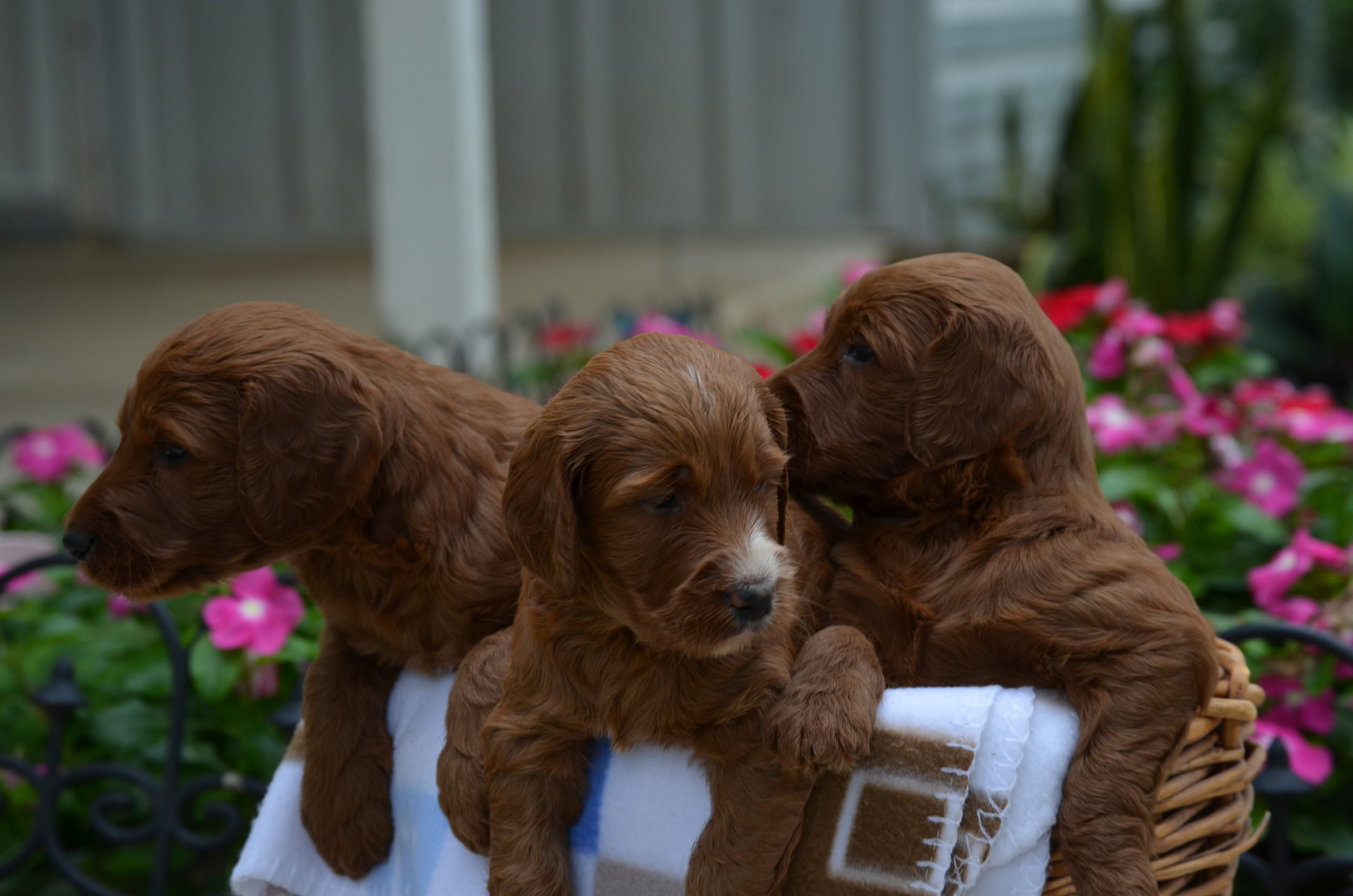 Irishdoodle-puppies