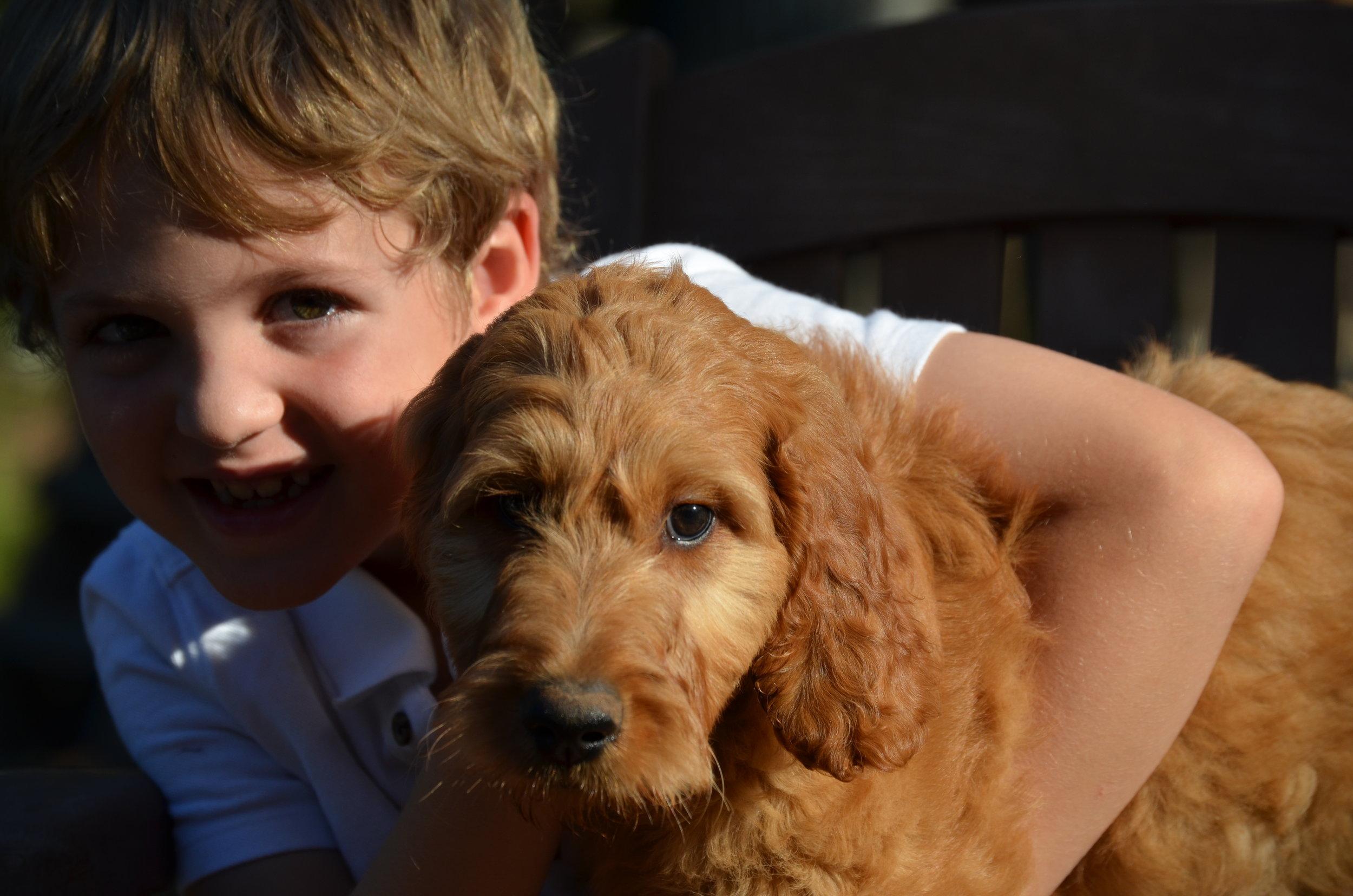 apricot-Irishdoodle-puppy
