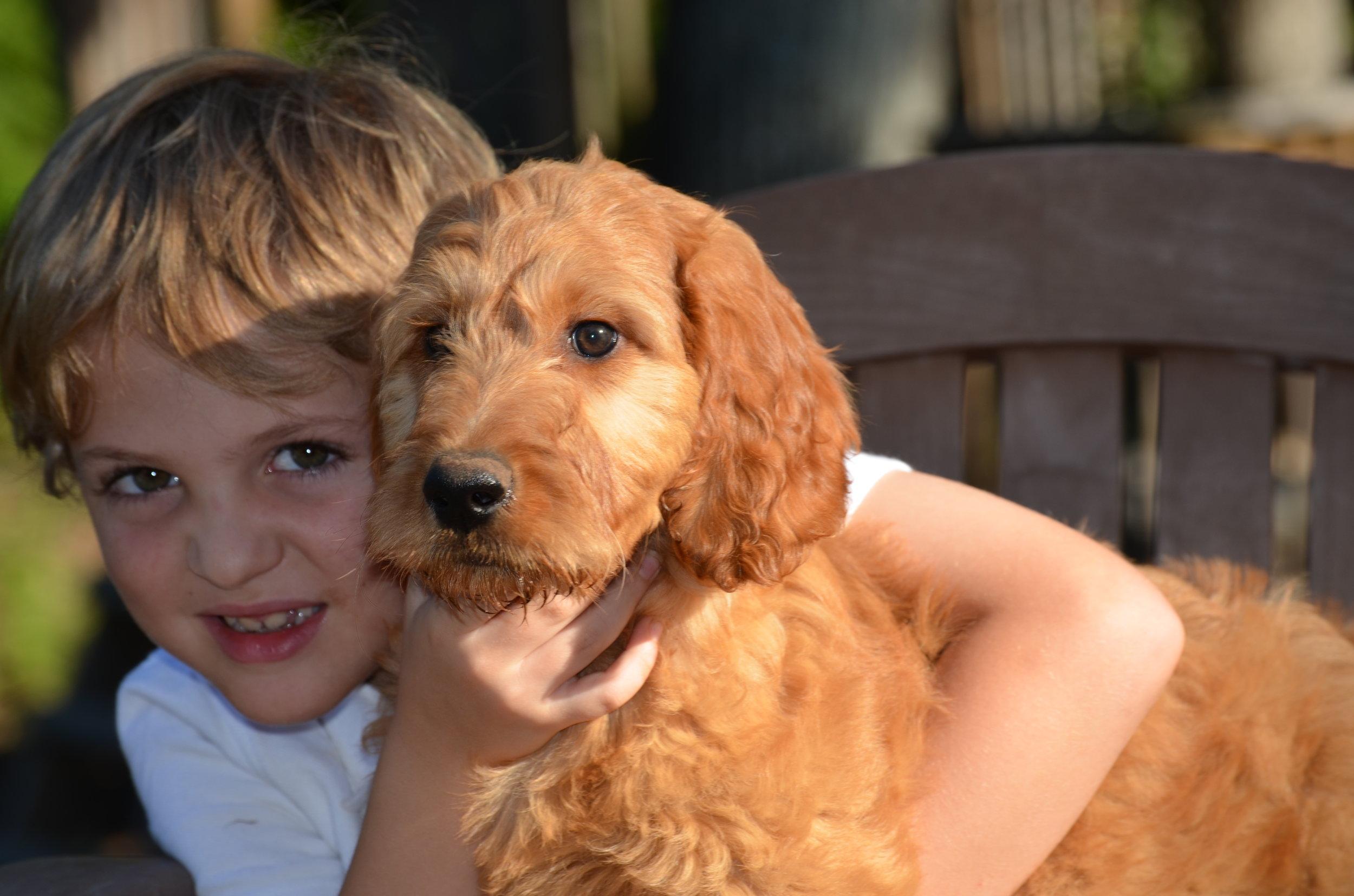 apricot-Irish-doodle-puppy (1).JPG