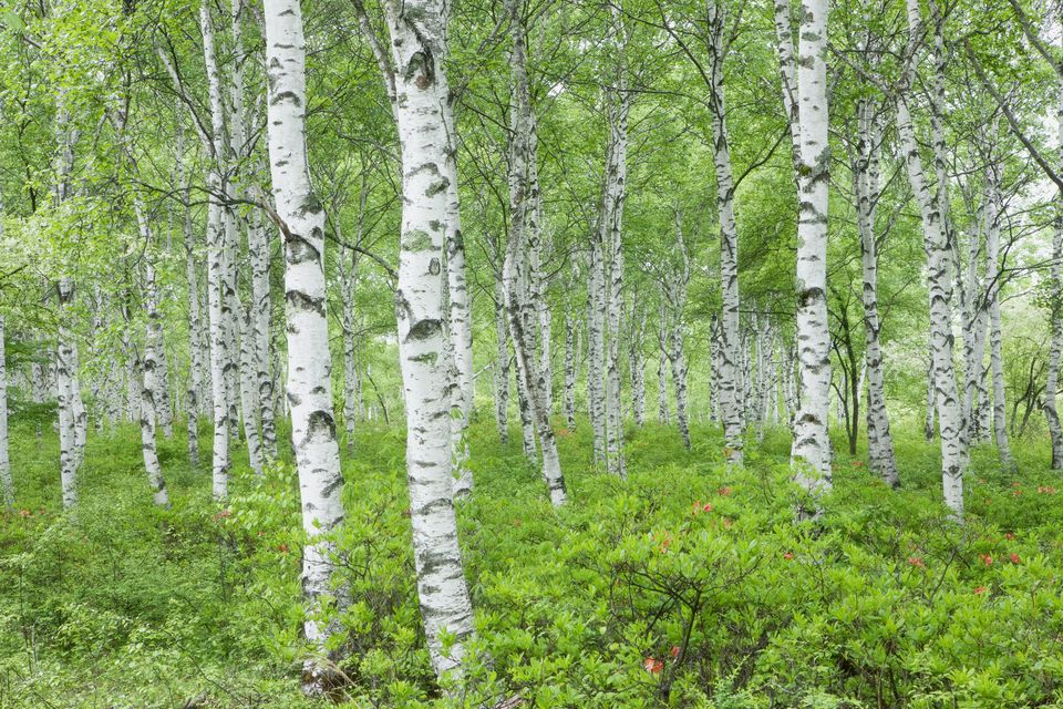 Japanese-White-Birch-GettyImages-106534403-58cf21c93df78c3c4f2a5a01.jpg