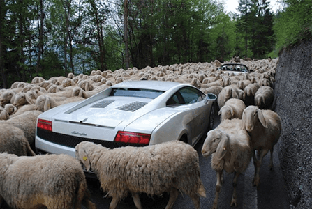 I'd choose a sheep-jam over a hurricane evacuation jam ANY DAY. Photo Source:   memeguy