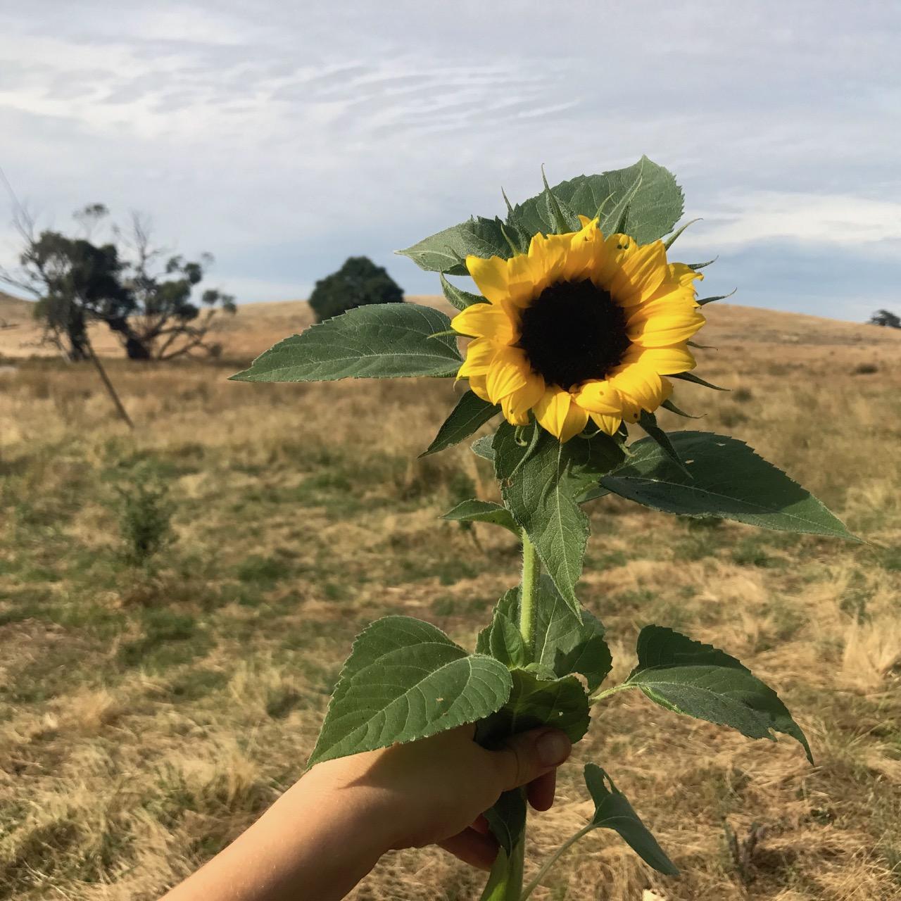 kellysunflower.jpg