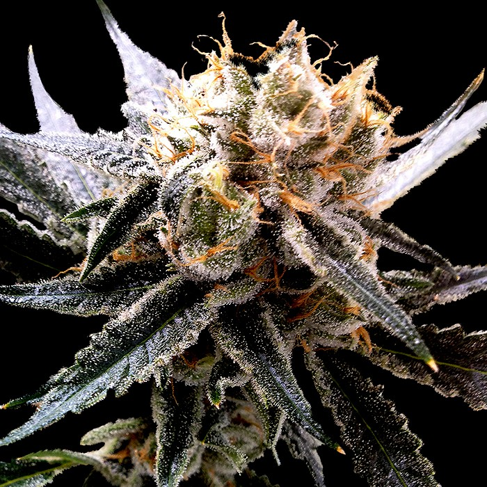 Sour Tangie -
