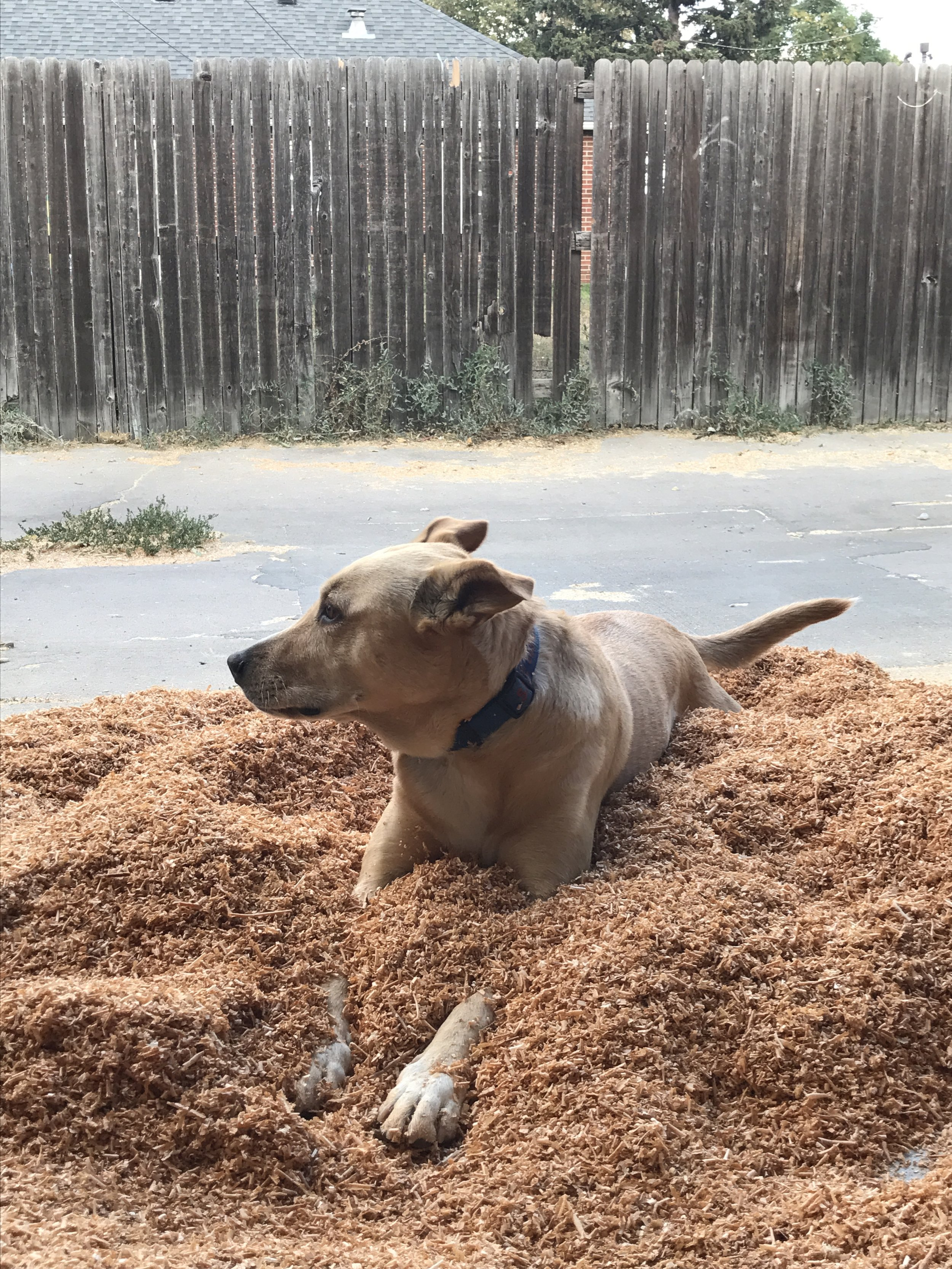 Sager lounging in some planed cedar shavings.