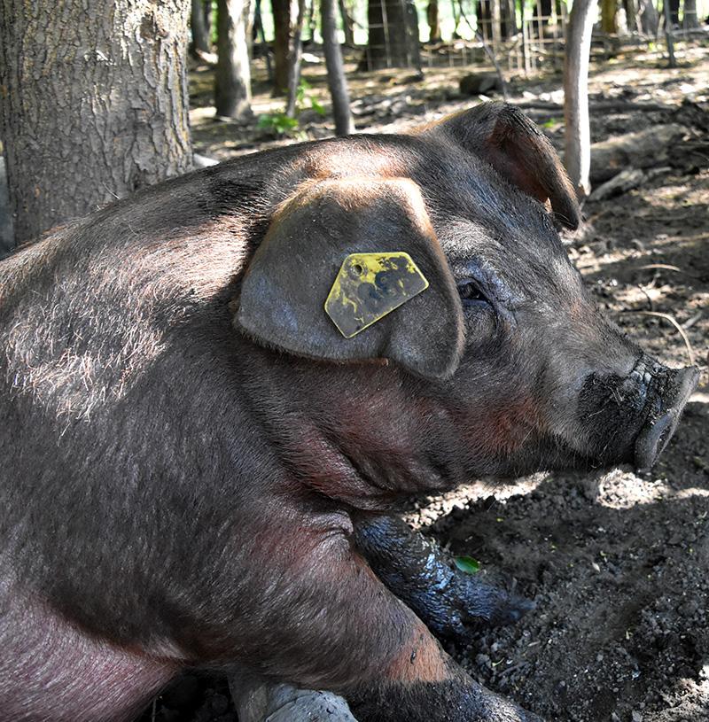 pastured-pork-farm-indiana.jpg